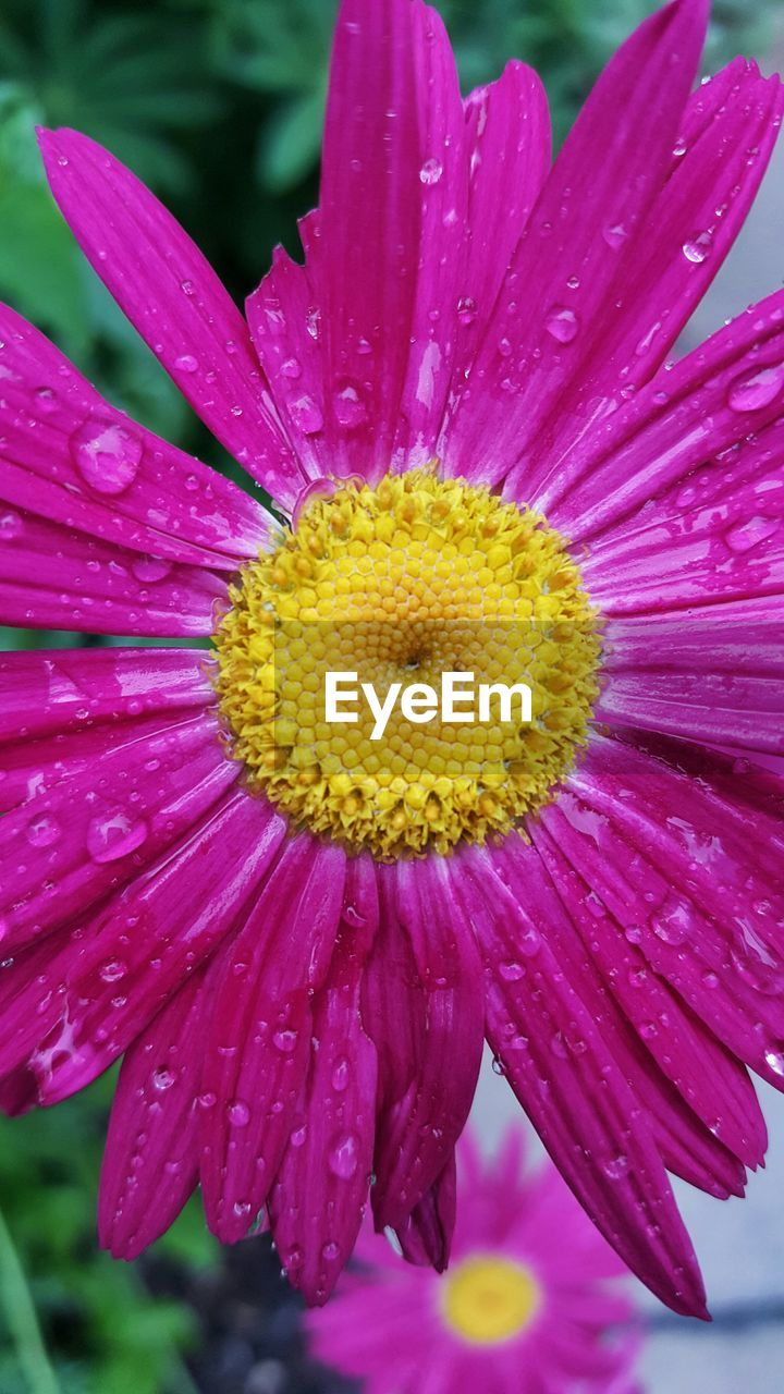 Close-Up Of Raindrops On Pink Daisy