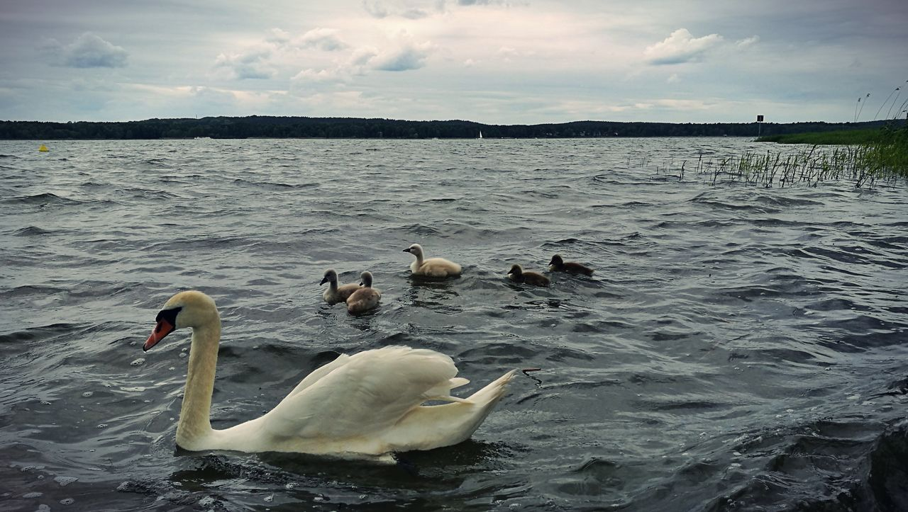 bird, animal themes, animals in the wild, swan, water, lake, nature, sky, swimming, water bird, day, no people, cloud - sky, animal wildlife, outdoors, beauty in nature, beak