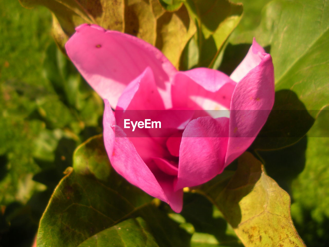 plant, flowering plant, petal, flower, beauty in nature, pink color, close-up, freshness, fragility, flower head, inflorescence, vulnerability, growth, nature, plant part, leaf, no people, day, focus on foreground, outdoors, purple