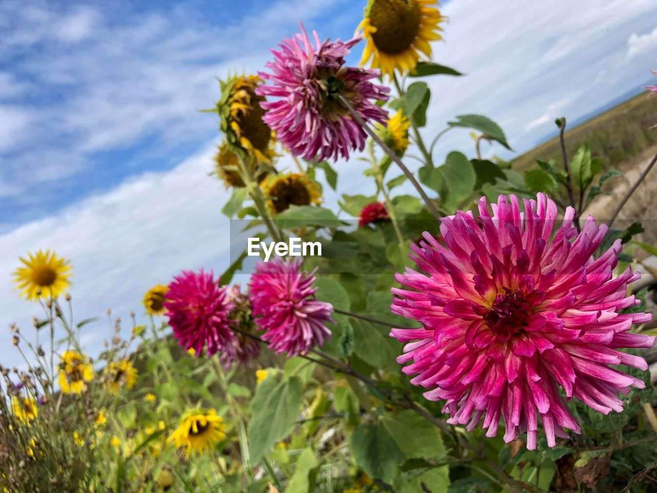 flowering plant, flower, plant, freshness, fragility, vulnerability, growth, beauty in nature, petal, flower head, inflorescence, close-up, pink color, nature, sky, focus on foreground, no people, day, field, cloud - sky, outdoors, pollen, purple