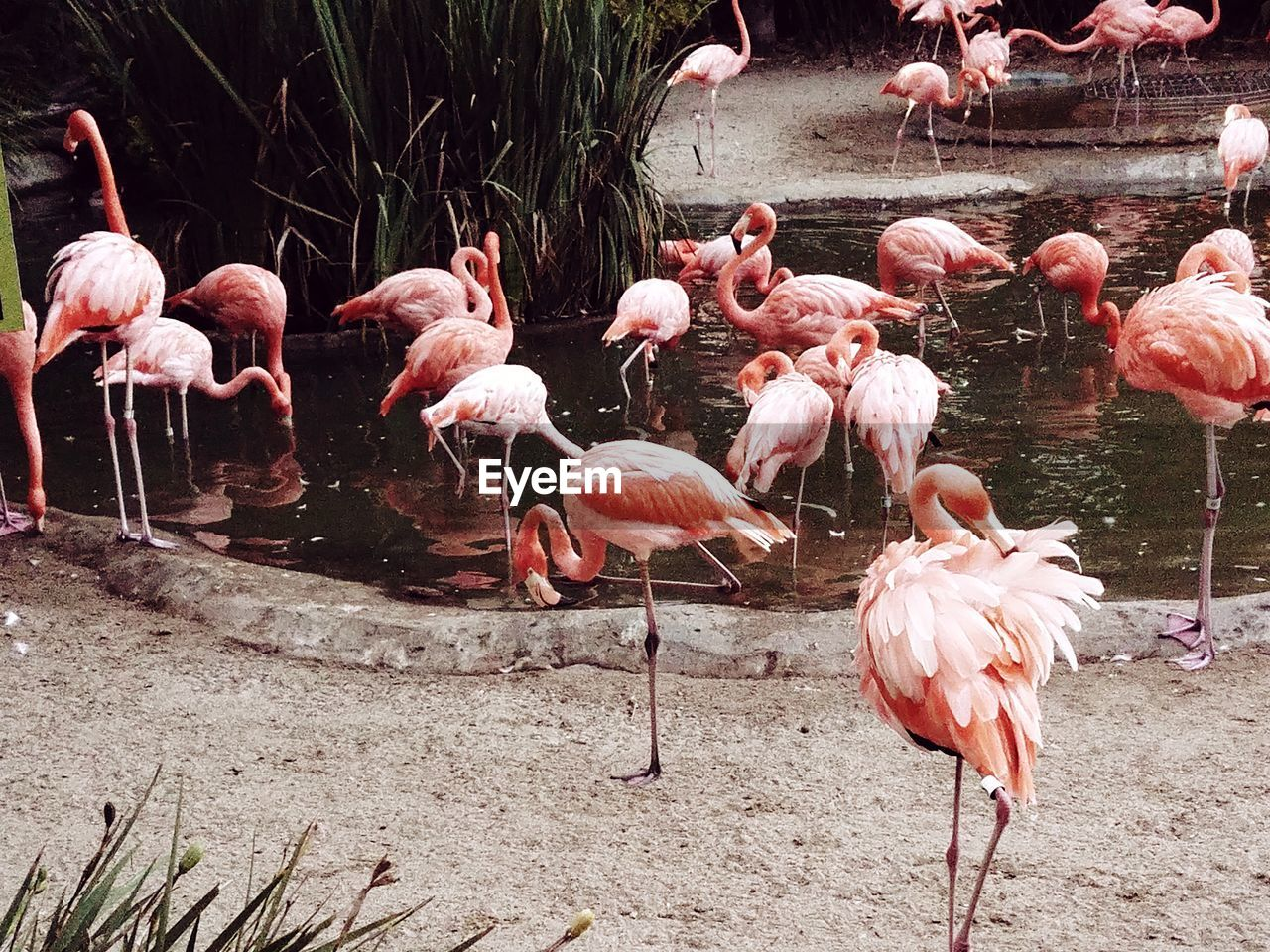 flamingo, group of animals, animals in the wild, animal themes, animal, large group of animals, bird, animal wildlife, water, vertebrate, lake, pink color, no people, nature, beauty in nature, day, land, flock of birds, zoology, outdoors, freshwater bird, animal neck