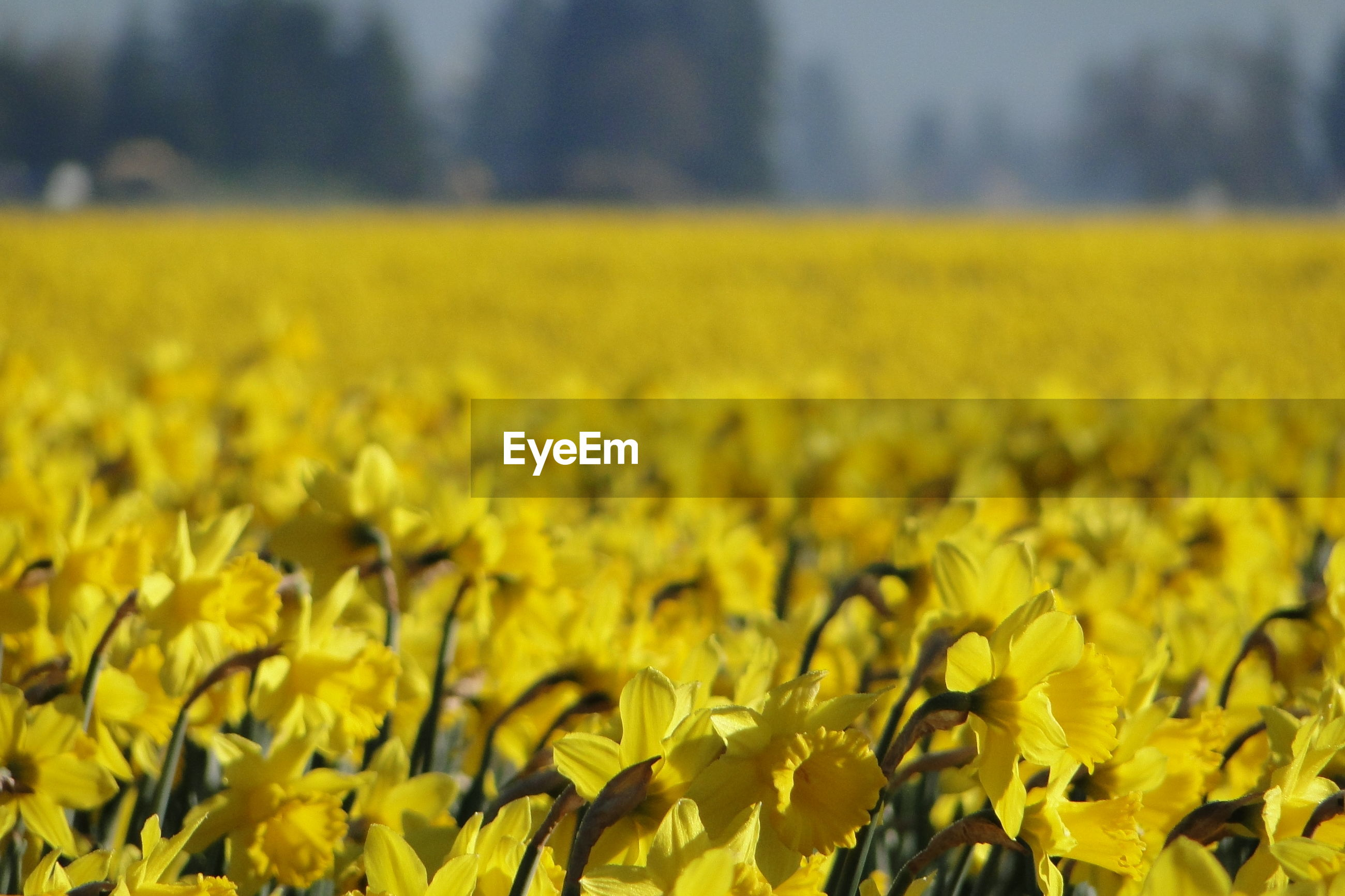 VIEW OF YELLOW FLOWERING PLANTS ON FIELD