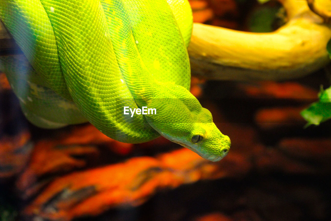 animal themes, animal, reptile, animals in the wild, animal wildlife, one animal, vertebrate, close-up, no people, nature, focus on foreground, plant, green color, day, animal body part, snake, lizard, outdoors, tree, beauty in nature, animal head, animal scale