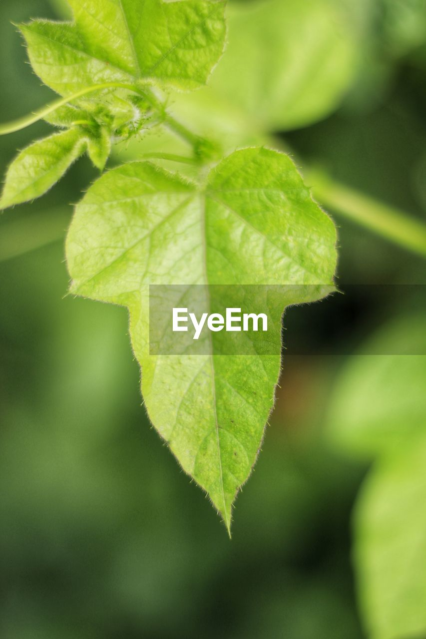 plant part, leaf, green color, close-up, plant, growth, nature, day, focus on foreground, no people, beauty in nature, freshness, leaf vein, outdoors, selective focus, food and drink, vulnerability, fragility, food, leaves