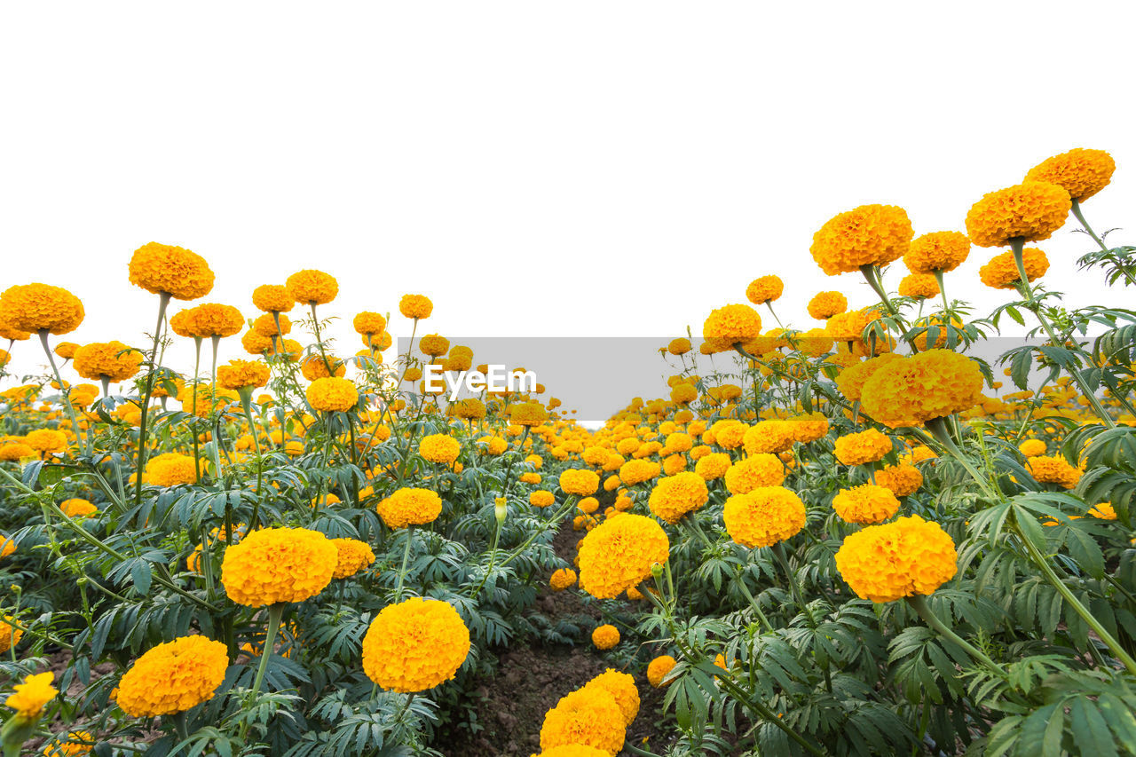 yellow, flower, plant, flowering plant, growth, freshness, beauty in nature, fragility, vulnerability, sky, flower head, nature, inflorescence, field, land, petal, sunflower, no people, clear sky, close-up, outdoors, springtime, flowerbed, pollen