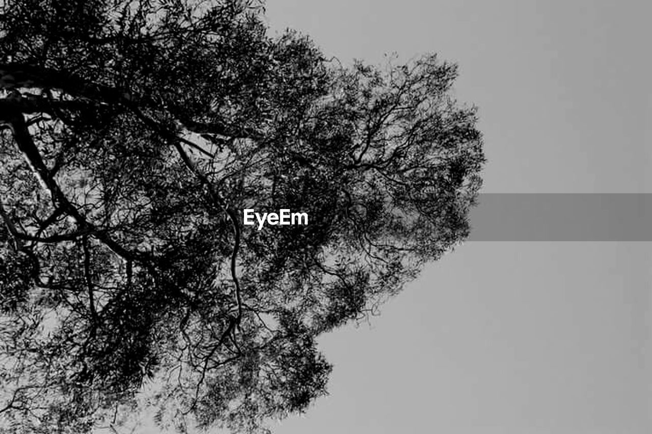 tree, low angle view, growth, nature, branch, clear sky, beauty in nature, outdoors, tranquility, no people, sky, day, scenics