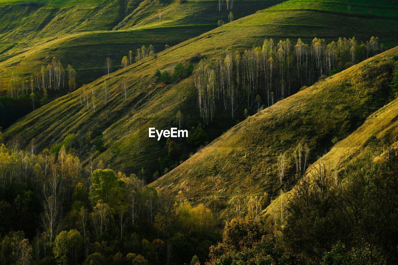 High angle view of birch trees growing on hill