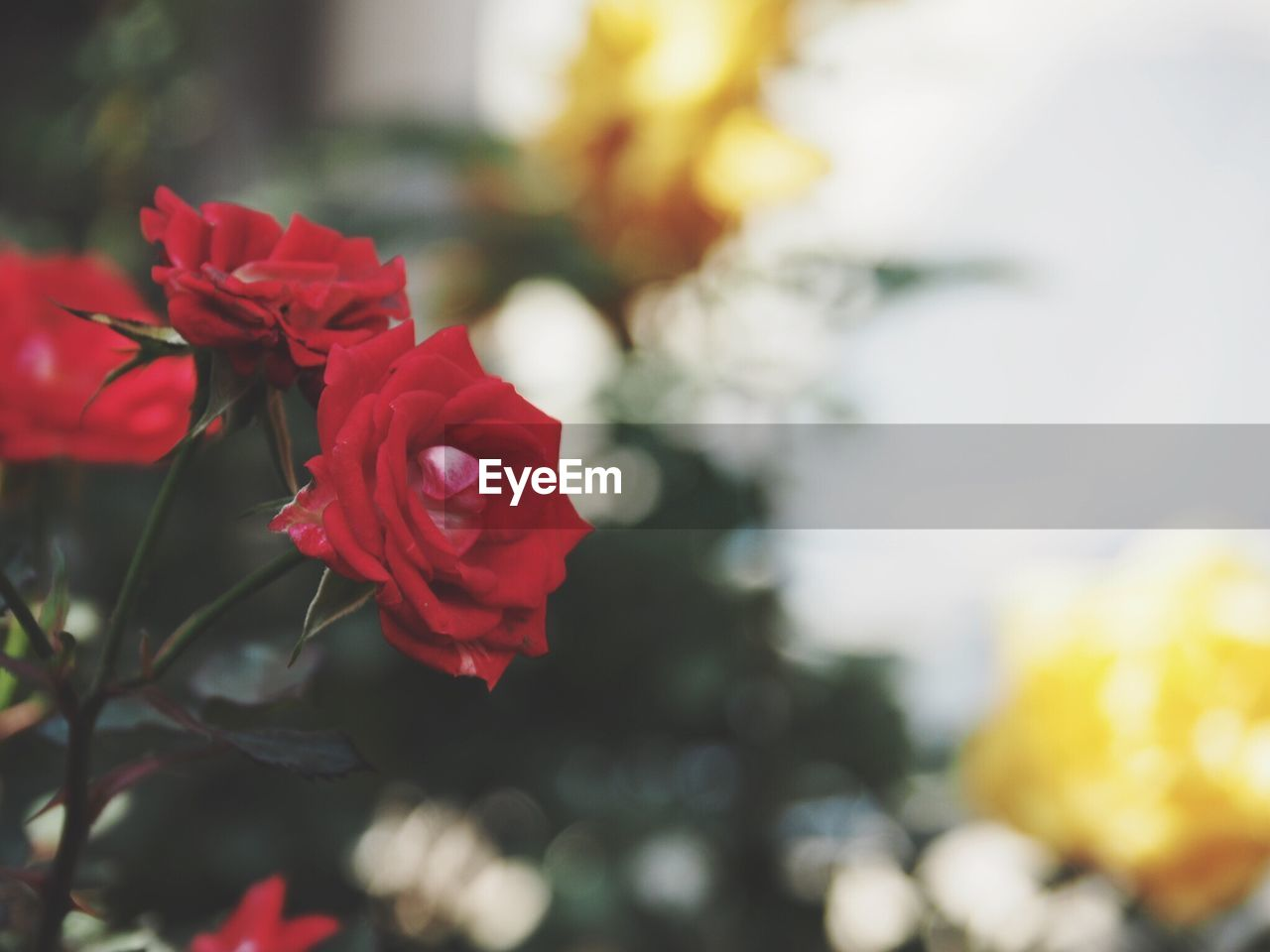 flower, petal, beauty in nature, fragility, nature, red, freshness, no people, flower head, rose - flower, focus on foreground, close-up, growth, blooming, day, outdoors