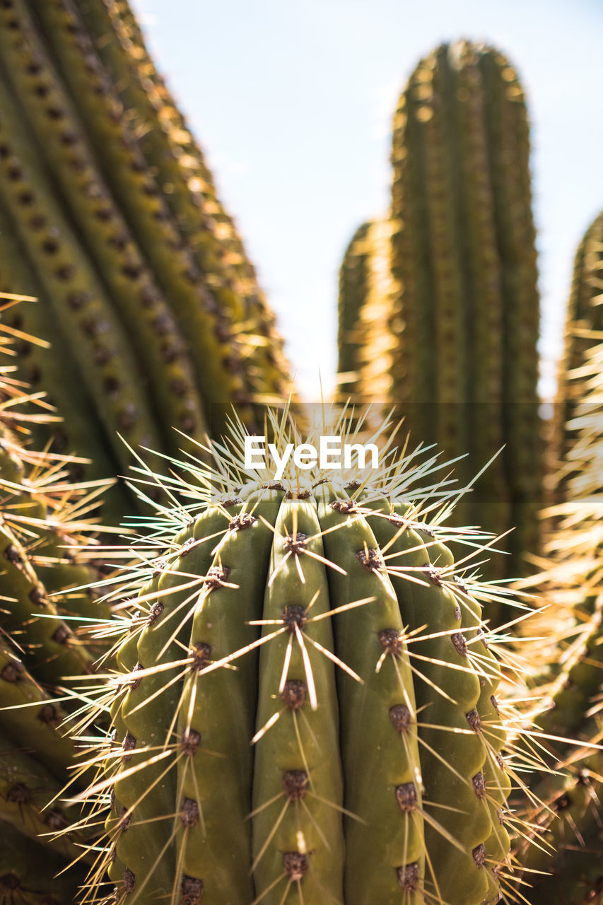 succulent plant, cactus, thorn, plant, spiked, sharp, growth, focus on foreground, green color, close-up, nature, no people, beauty in nature, day, outdoors, natural pattern, sky, field, sunlight, land, spiky, arid climate