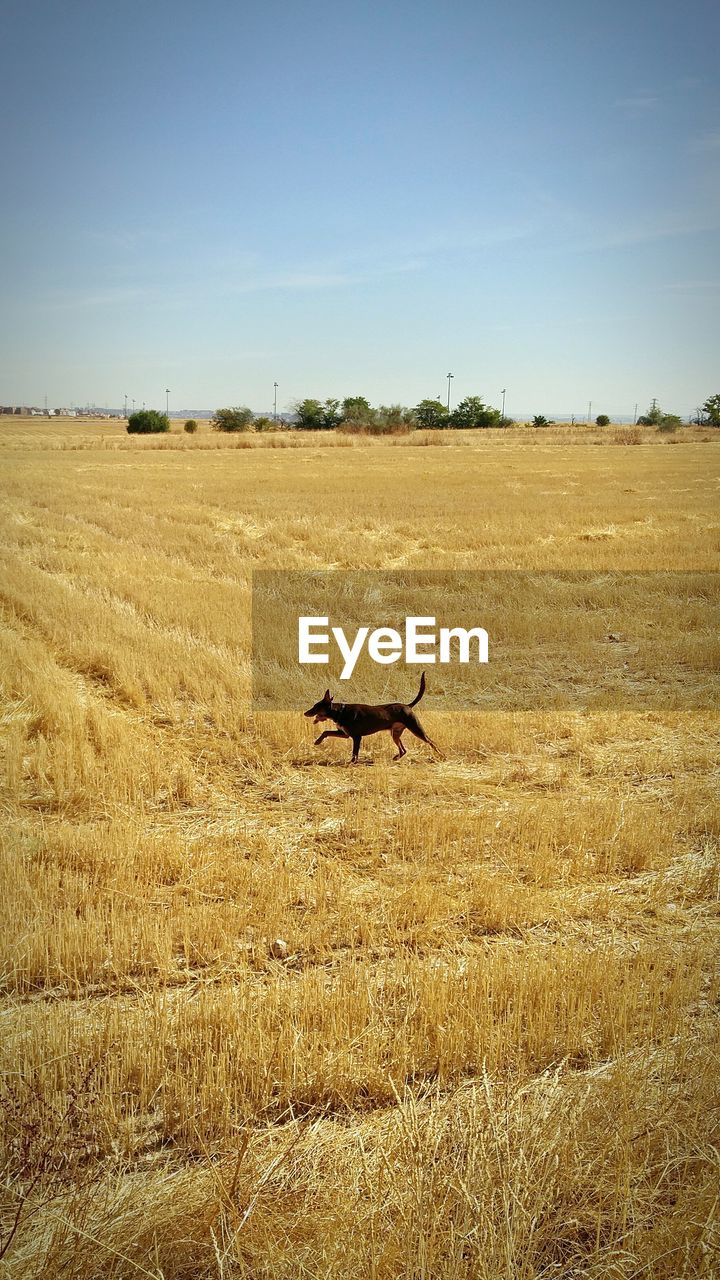 Dog walking on field against sky