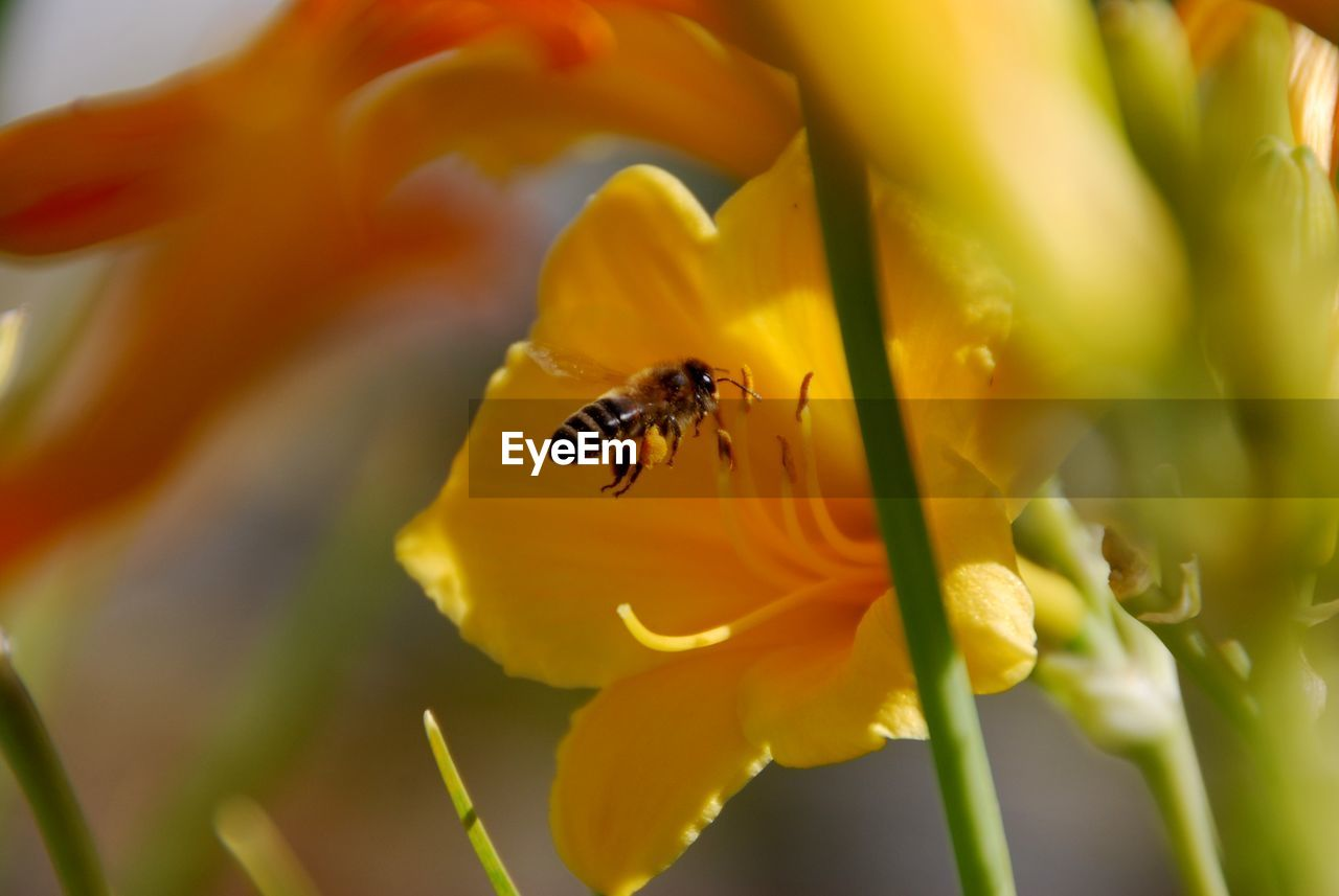 flower, insect, animal themes, petal, animals in the wild, one animal, yellow, nature, beauty in nature, fragility, animal wildlife, growth, plant, selective focus, no people, flower head, freshness, bee, close-up, outdoors, day, pollination, buzzing