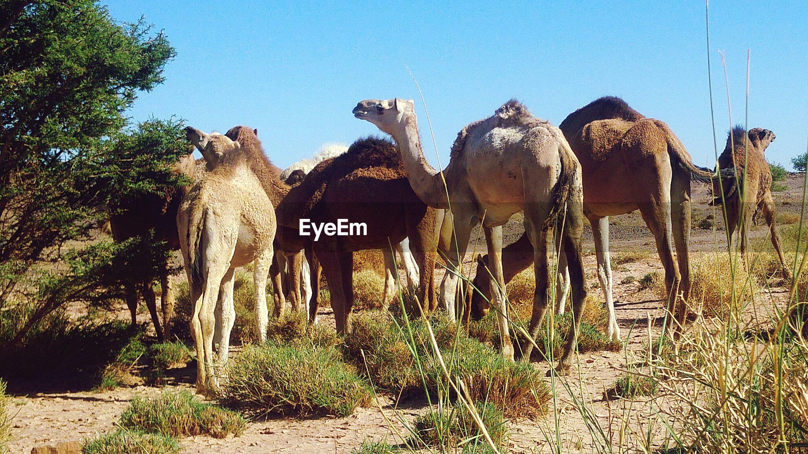 Breeding camel in the desert