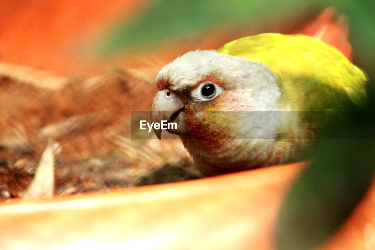 animal themes, animal, bird, vertebrate, selective focus, one animal, close-up, animal wildlife, no people, animals in the wild, day, nature, outdoors, young animal, pets, parrot, domestic, looking at camera, portrait, domestic animals, animal eye