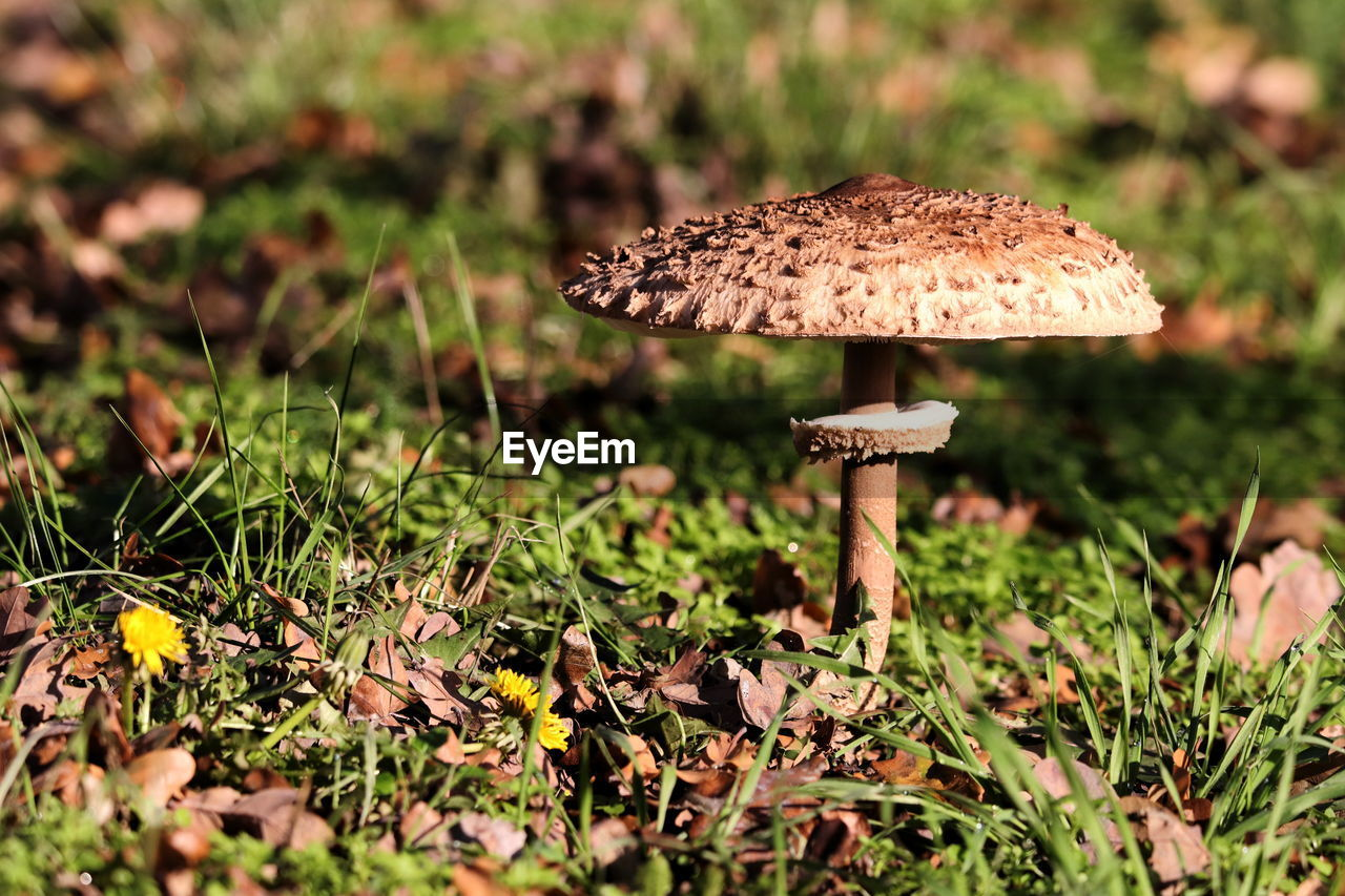 fungus, mushroom, vegetable, growth, plant, land, food, close-up, field, toadstool, nature, selective focus, grass, day, no people, beauty in nature, fly agaric mushroom, fragility, green color, freshness, outdoors, wild, surface level, poisonous