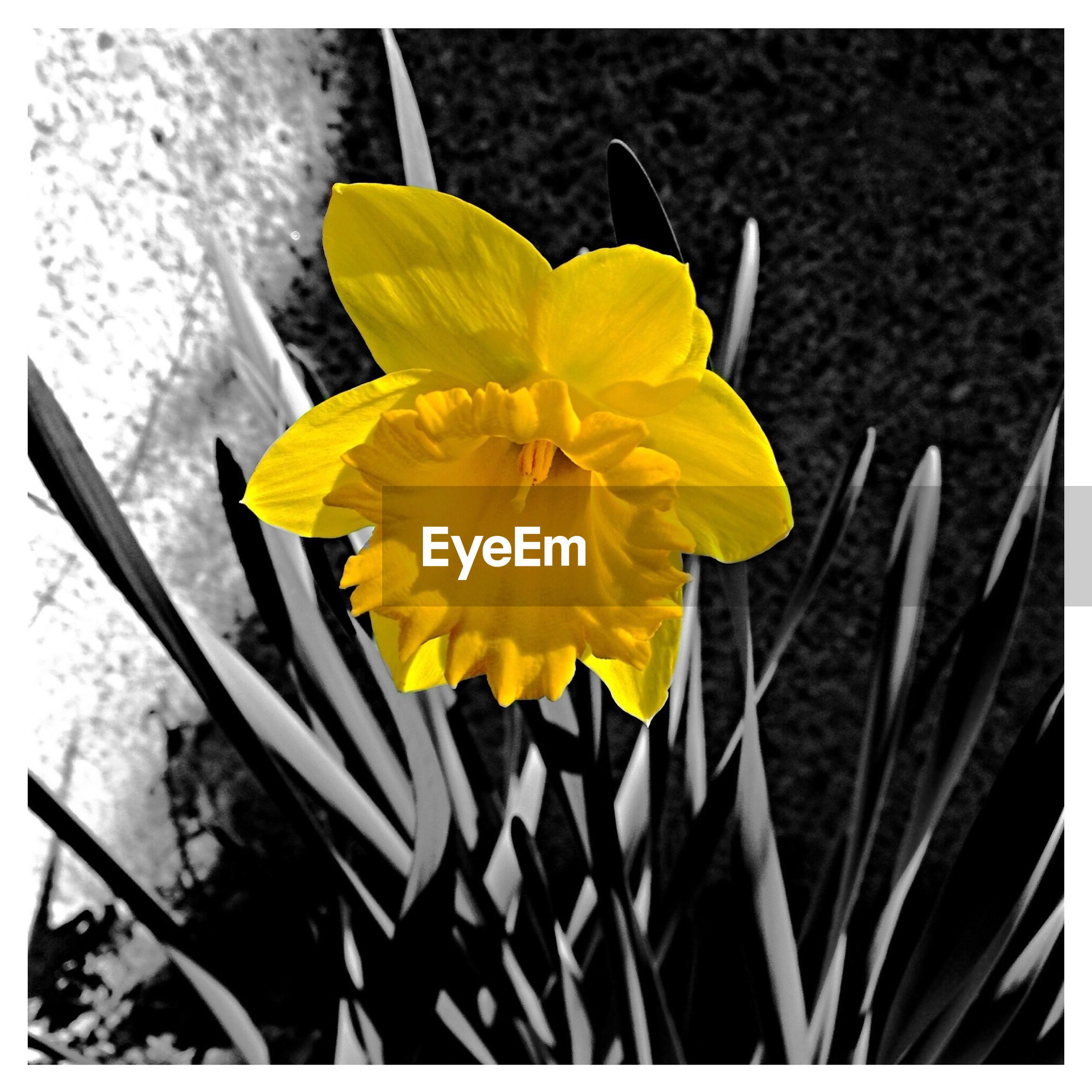 flower, yellow, petal, fragility, flower head, freshness, close-up, single flower, beauty in nature, growth, blooming, nature, plant, focus on foreground, transfer print, in bloom, day, high angle view, outdoors, auto post production filter