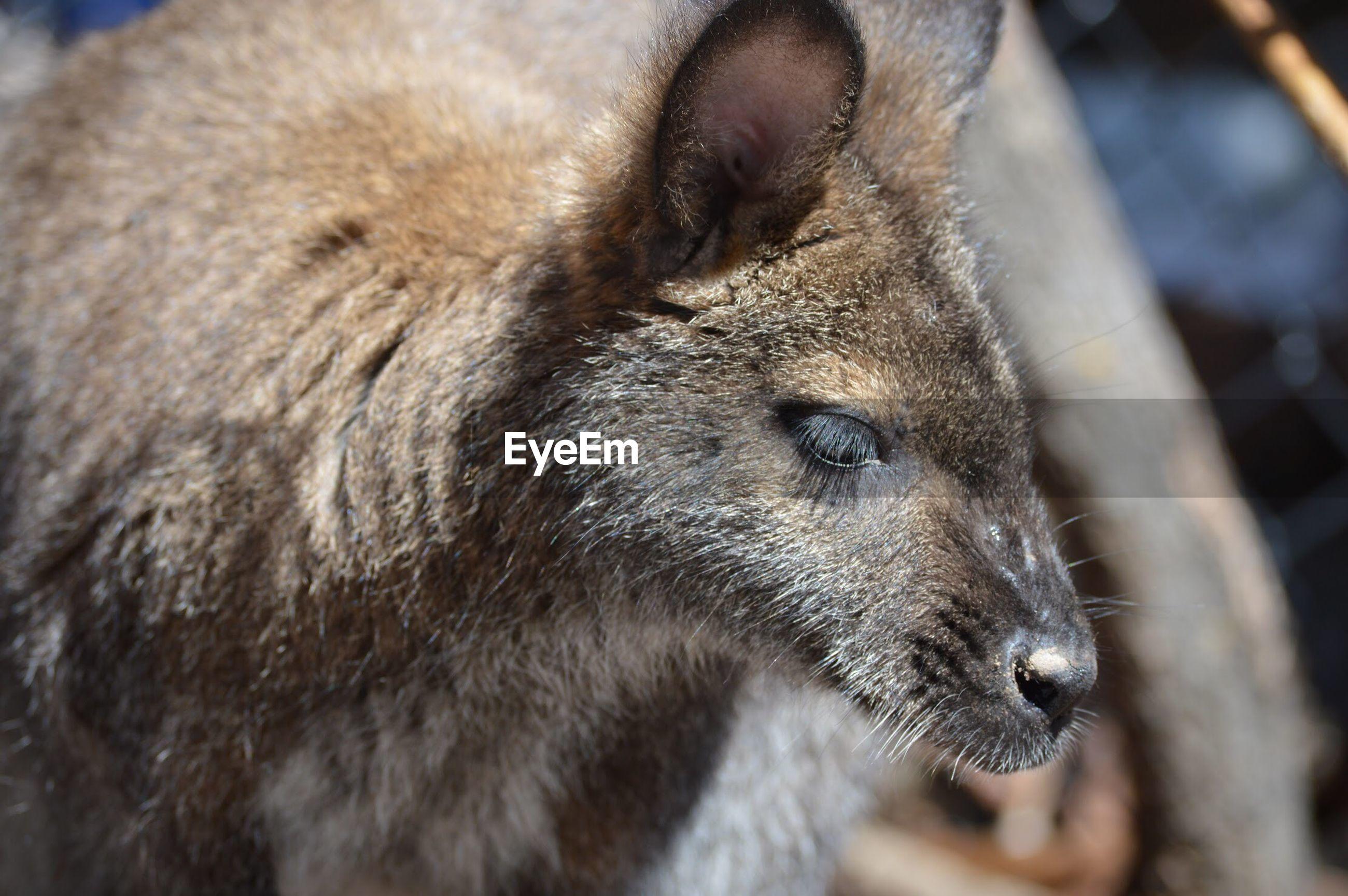 Close-up of young kangaroo