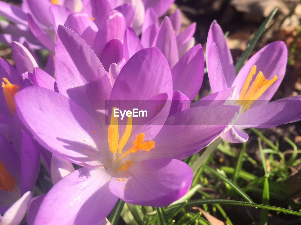 flowering plant, flower, petal, plant, vulnerability, beauty in nature, fragility, freshness, inflorescence, growth, flower head, close-up, pollen, nature, no people, purple, crocus, iris, day, botany, springtime