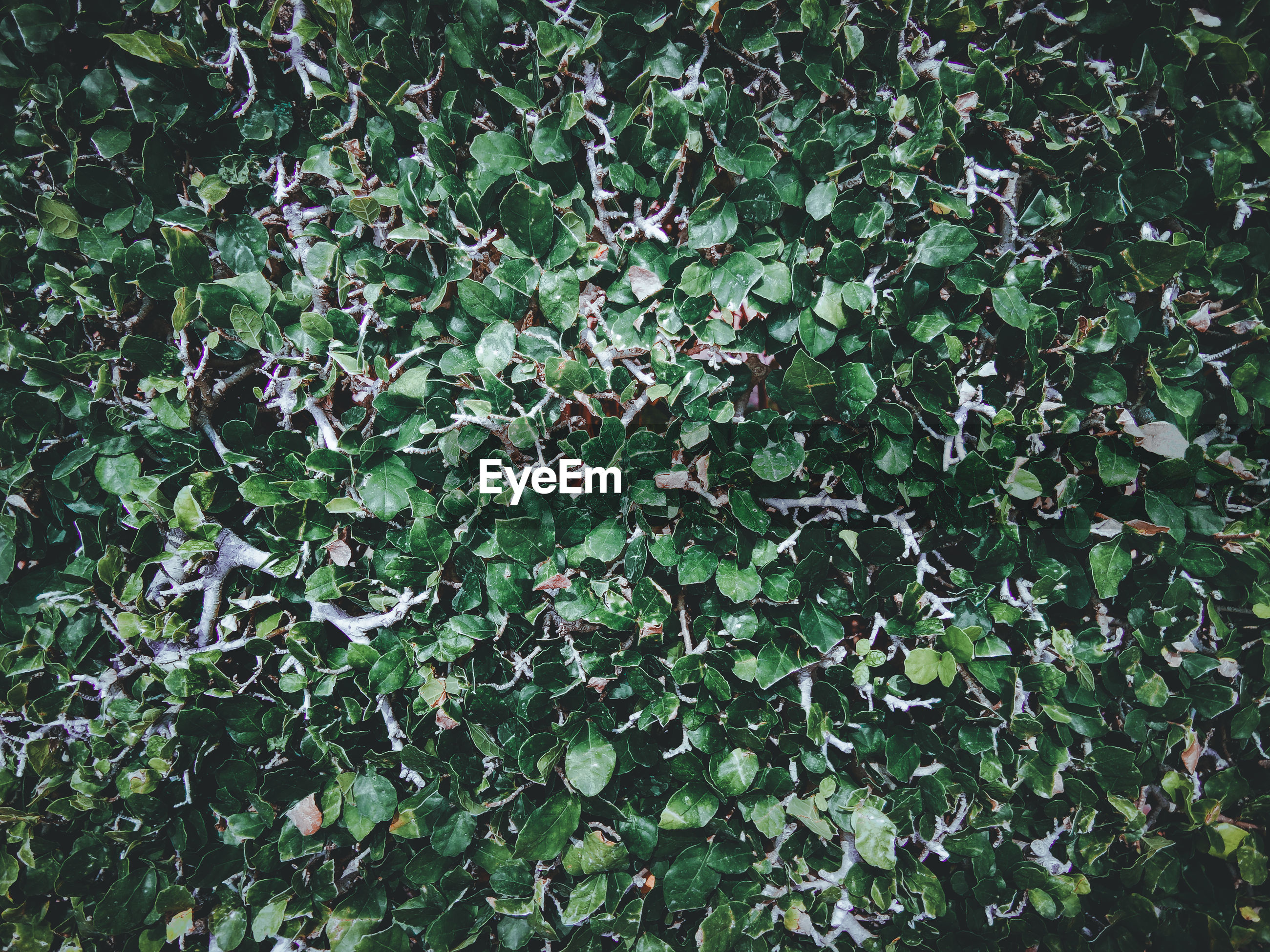 HIGH ANGLE VIEW OF IVY ON FIELD
