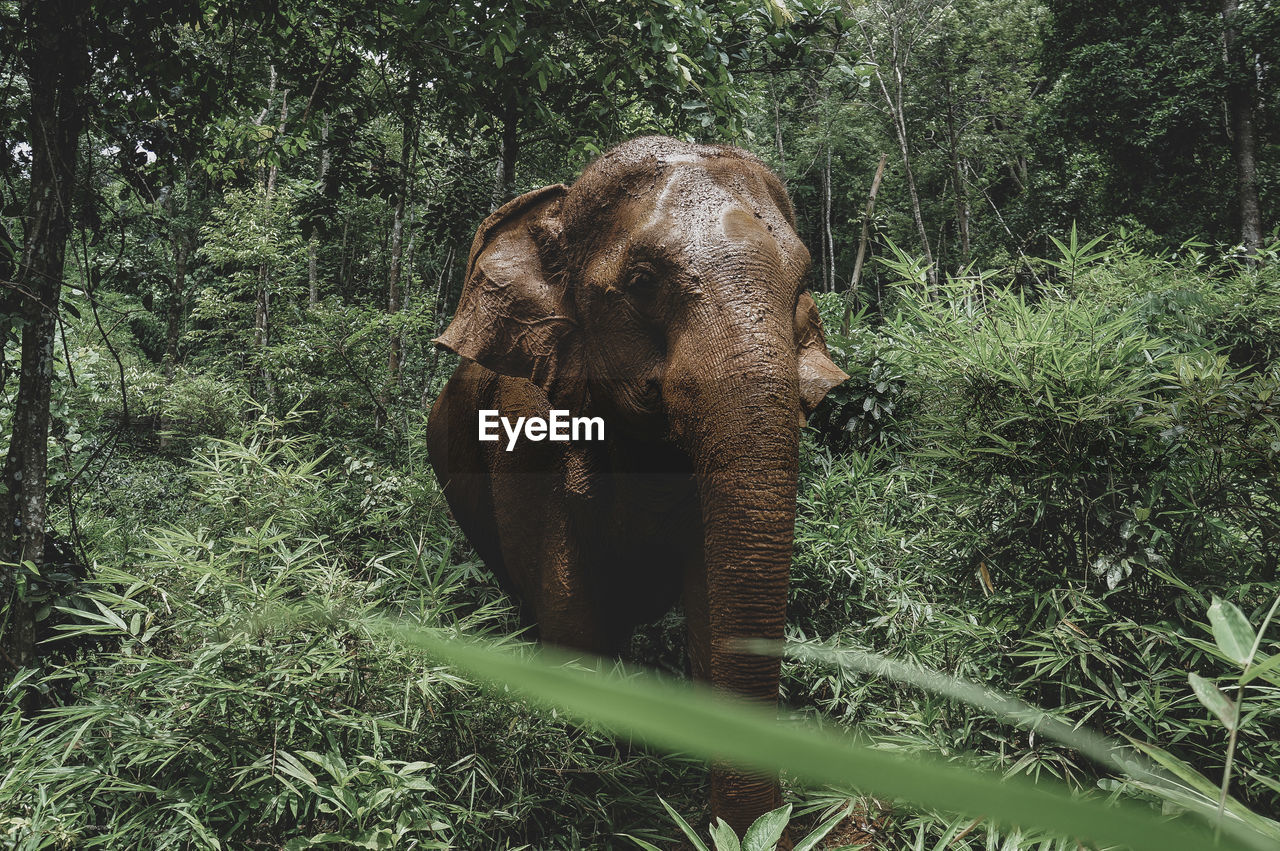 plant, animal themes, animal, mammal, one animal, vertebrate, tree, animal wildlife, animals in the wild, elephant, land, forest, nature, no people, day, growth, green color, grass, field, domestic animals, outdoors, herbivorous, animal trunk