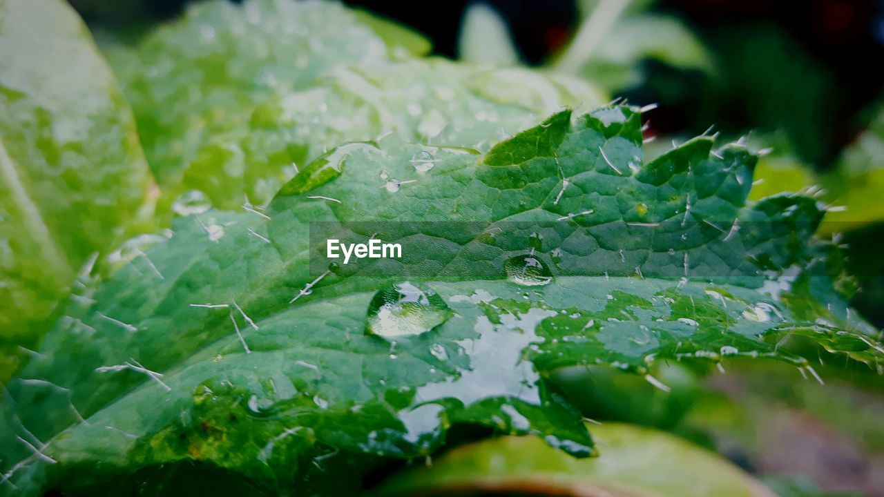 green color, leaf, drop, selective focus, close-up, freshness, nature, no people, beauty in nature, plant, growth, water, day, outdoors, raindrop, fragility, food