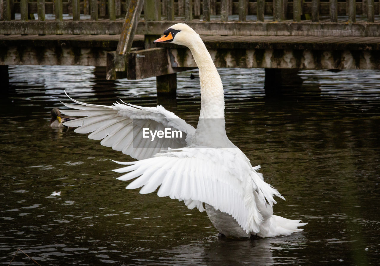 water, bird, animal themes, animals in the wild, vertebrate, animal, animal wildlife, lake, swan, reflection, white color, water bird, day, nature, one animal, flying, waterfront, zoology, spread wings, no people, animal neck, floating on water, flapping