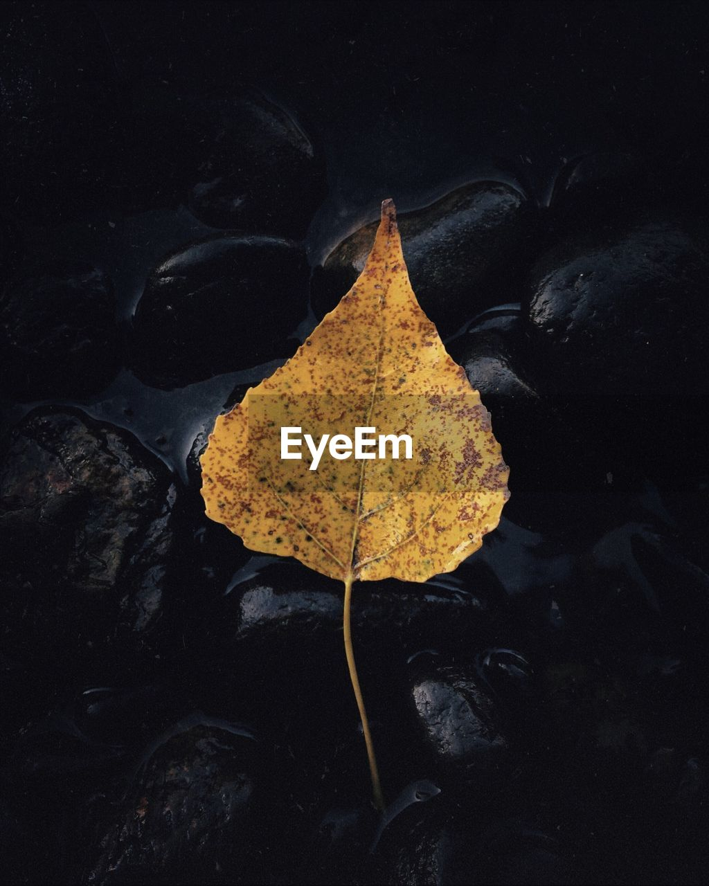 leaf, autumn, change, dry, nature, outdoors, beauty in nature, maple, water, no people, wet, day, maple leaf, close-up, fragility