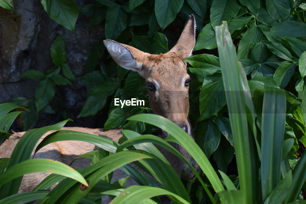 one animal, animal, animal themes, mammal, plant part, leaf, vertebrate, green color, plant, domestic animals, growth, no people, nature, animal wildlife, day, looking at camera, animals in the wild, portrait, deer, pets, outdoors, herbivorous, animal head, fawn