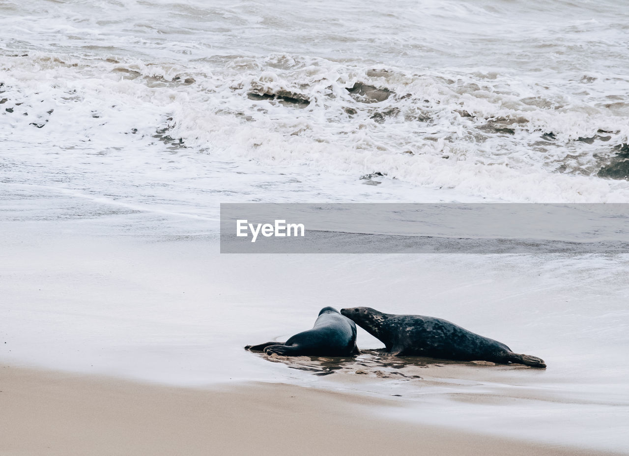 sea, water, beach, animal wildlife, animal themes, motion, land, animals in the wild, animal, one animal, wave, sand, nature, vertebrate, no people, day, beauty in nature, aquatic sport, outdoors