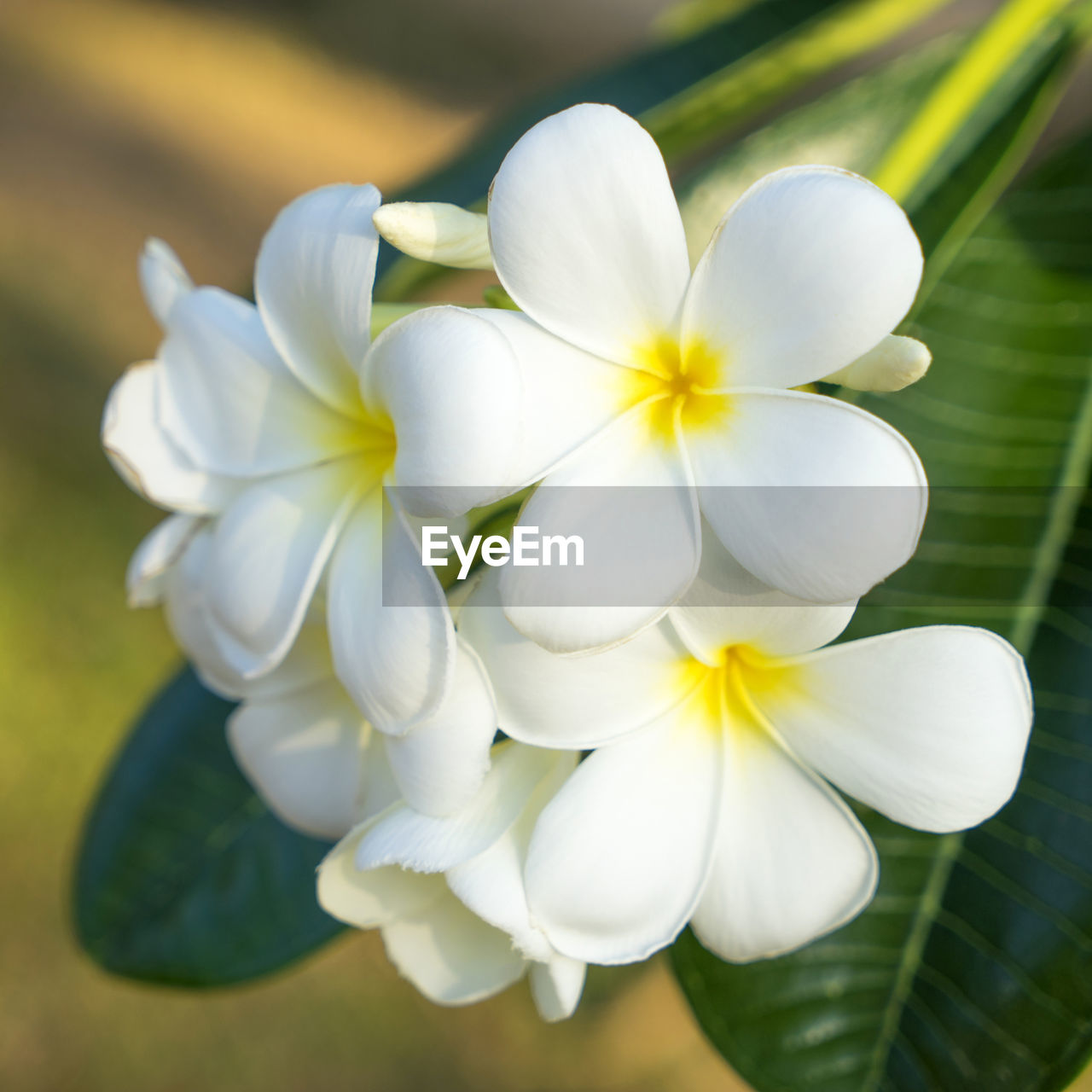 flower, flowering plant, beauty in nature, fragility, vulnerability, plant, inflorescence, white color, freshness, flower head, close-up, petal, growth, no people, nature, focus on foreground, day, botany, selective focus, outdoors