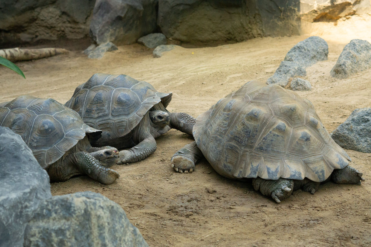 reptile, turtle, animal themes, animal, animal wildlife, vertebrate, tortoise, animals in the wild, group of animals, rock, solid, shell, tortoise shell, nature, animal shell, rock - object, no people, day, land, zoo, marine