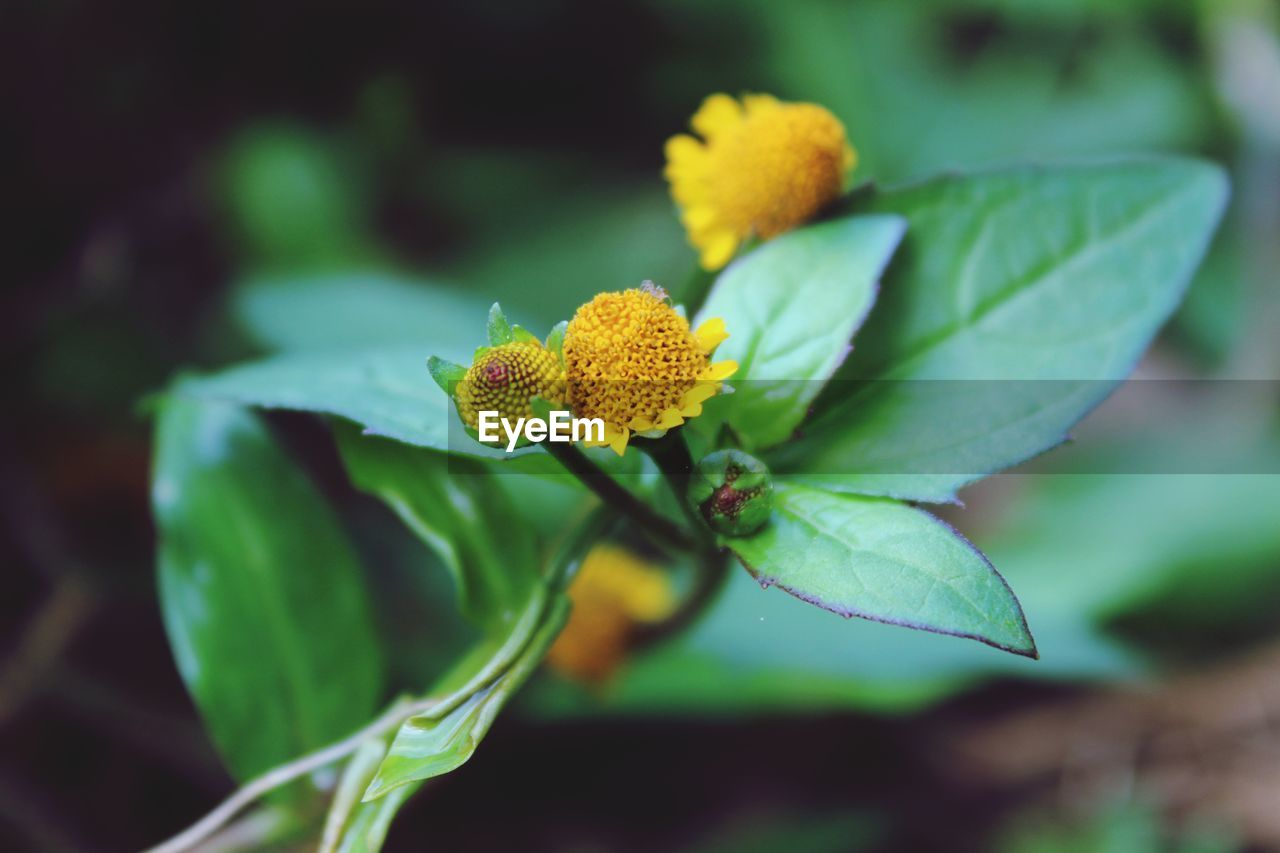 Acmella paniculata Yellow Flower Nature Beauty In Nature Green Canonphotography Naturephotography Macro Nature_collection Flower Head Flower Beauty Leaf Closing Plant Part Summer Botanical Garden Living Organism Close-up Flowering Plant Plant Life Botany Focus EyeEmNewHere