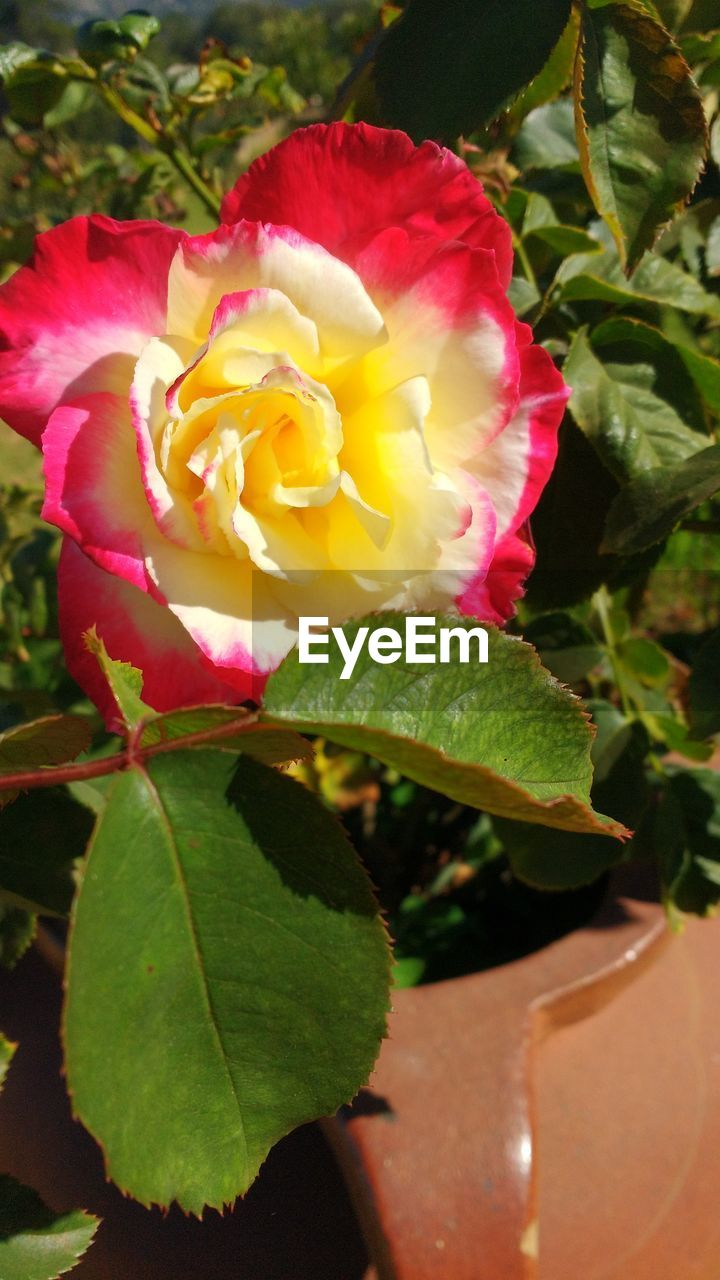 flower, petal, nature, growth, beauty in nature, plant, leaf, fragility, rose - flower, flower head, no people, blooming, freshness, close-up, outdoors, pink color, wild rose, red, day