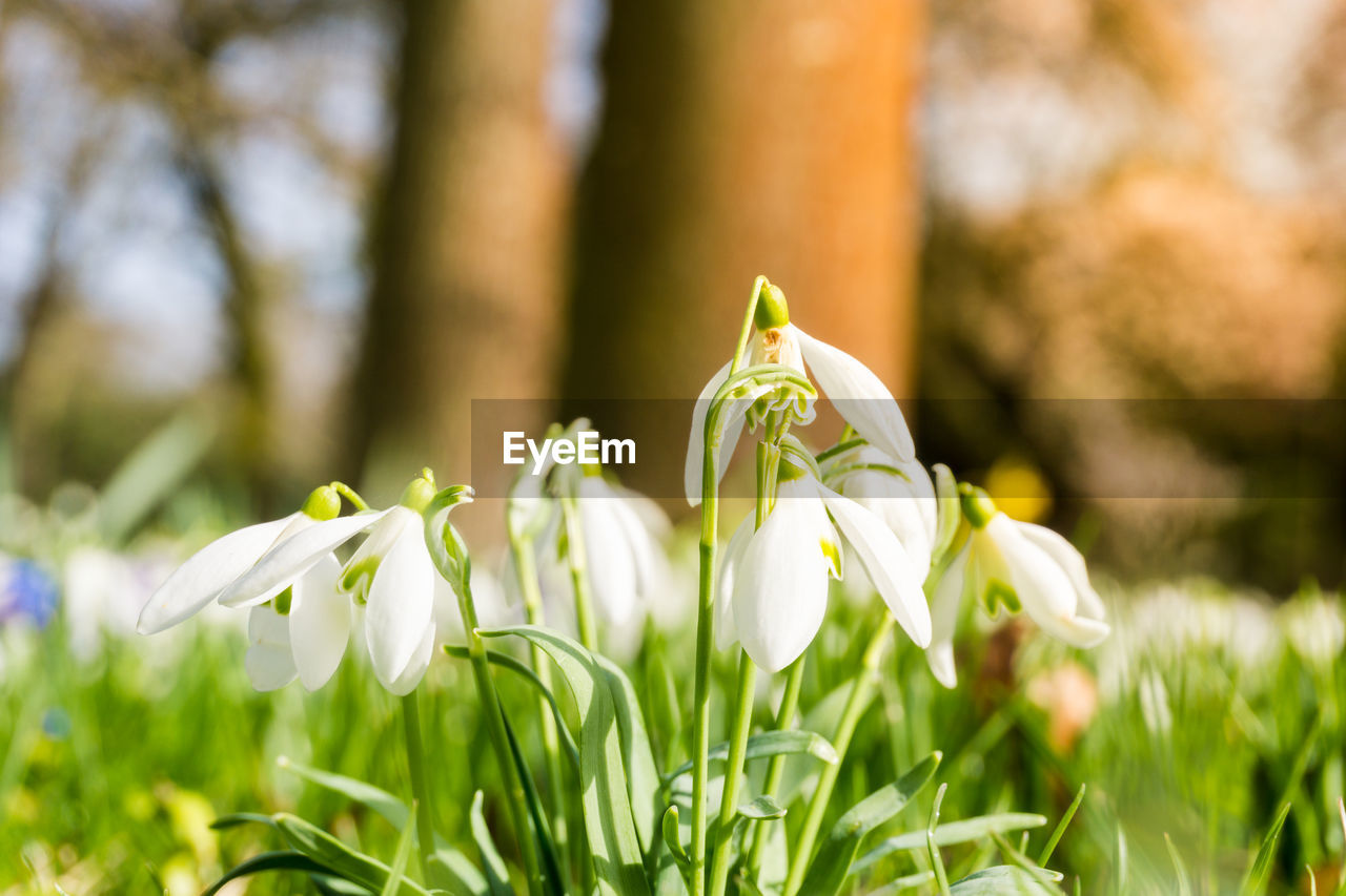 Close-up of snowdrops outdoors