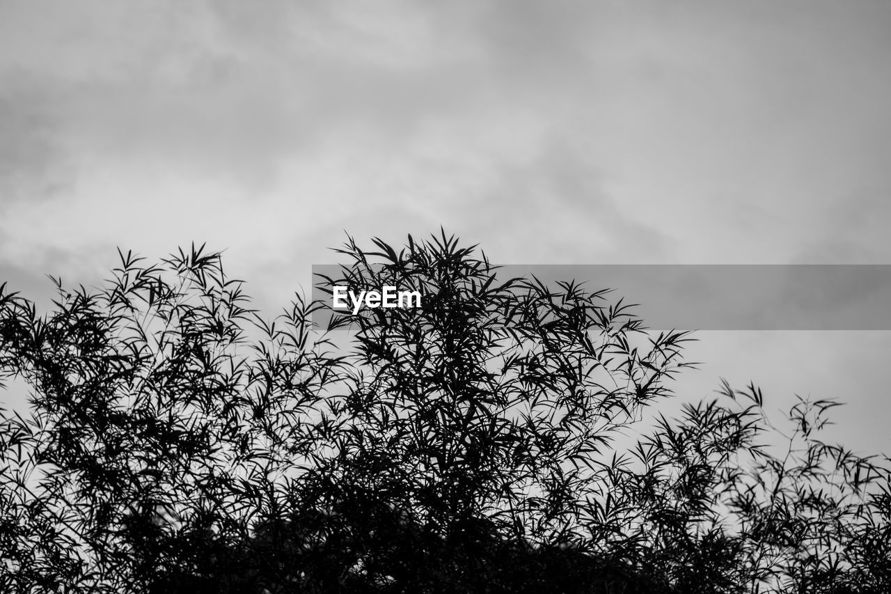 plant, sky, cloud - sky, growth, tree, low angle view, beauty in nature, nature, no people, day, tranquility, outdoors, branch, silhouette, scenics - nature, non-urban scene, flower, tranquil scene, flowering plant, coniferous tree