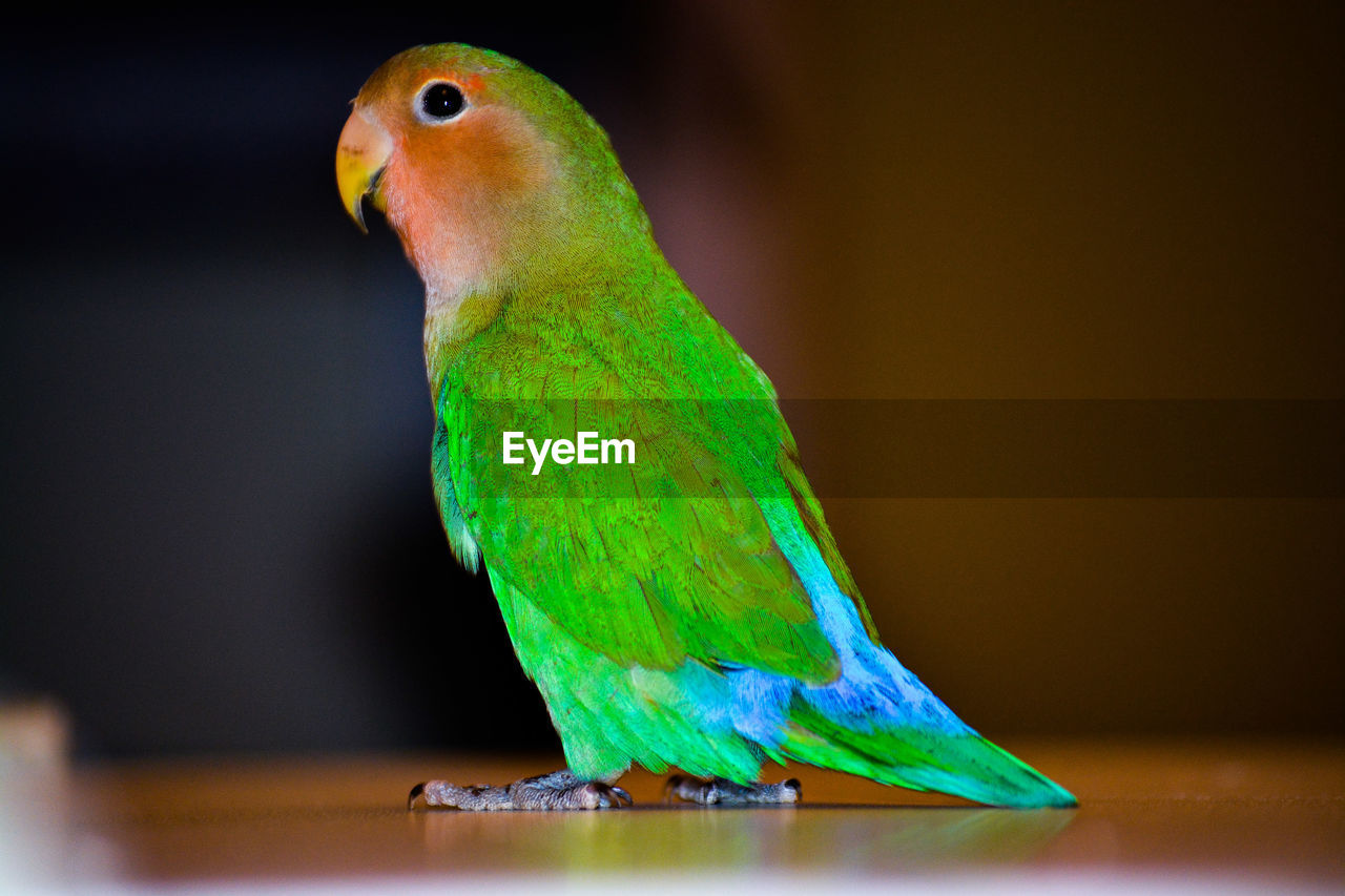 CLOSE-UP OF PARROT PERCHING ON GREEN