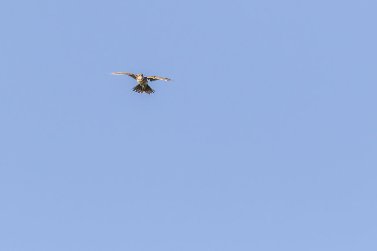 clear sky, blue, copy space, low angle view, flying, one animal, animals in the wild, animal themes, day, mid-air, nature, no people, outdoors, spread wings, beauty in nature, animal wildlife, bird, sky