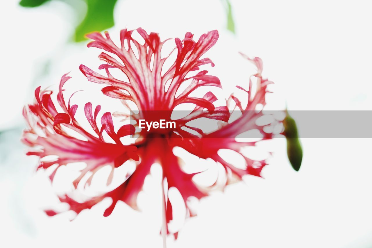 flower, flowering plant, beauty in nature, plant, close-up, vulnerability, fragility, petal, freshness, flower head, growth, inflorescence, white background, no people, red, nature, focus on foreground, studio shot, pink color, pollen, maroon