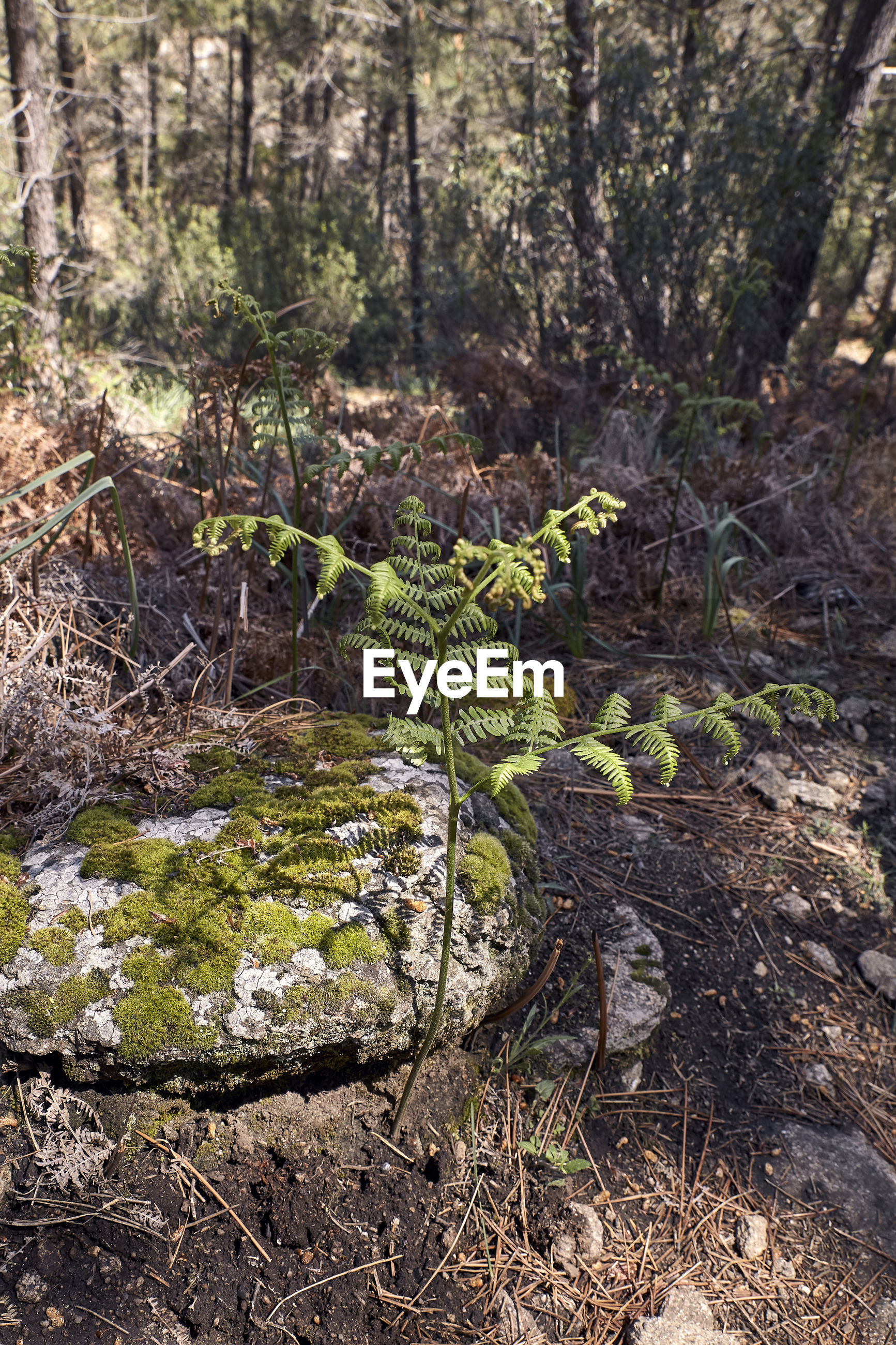 Green fern next to a rock with moss in a pine forest
