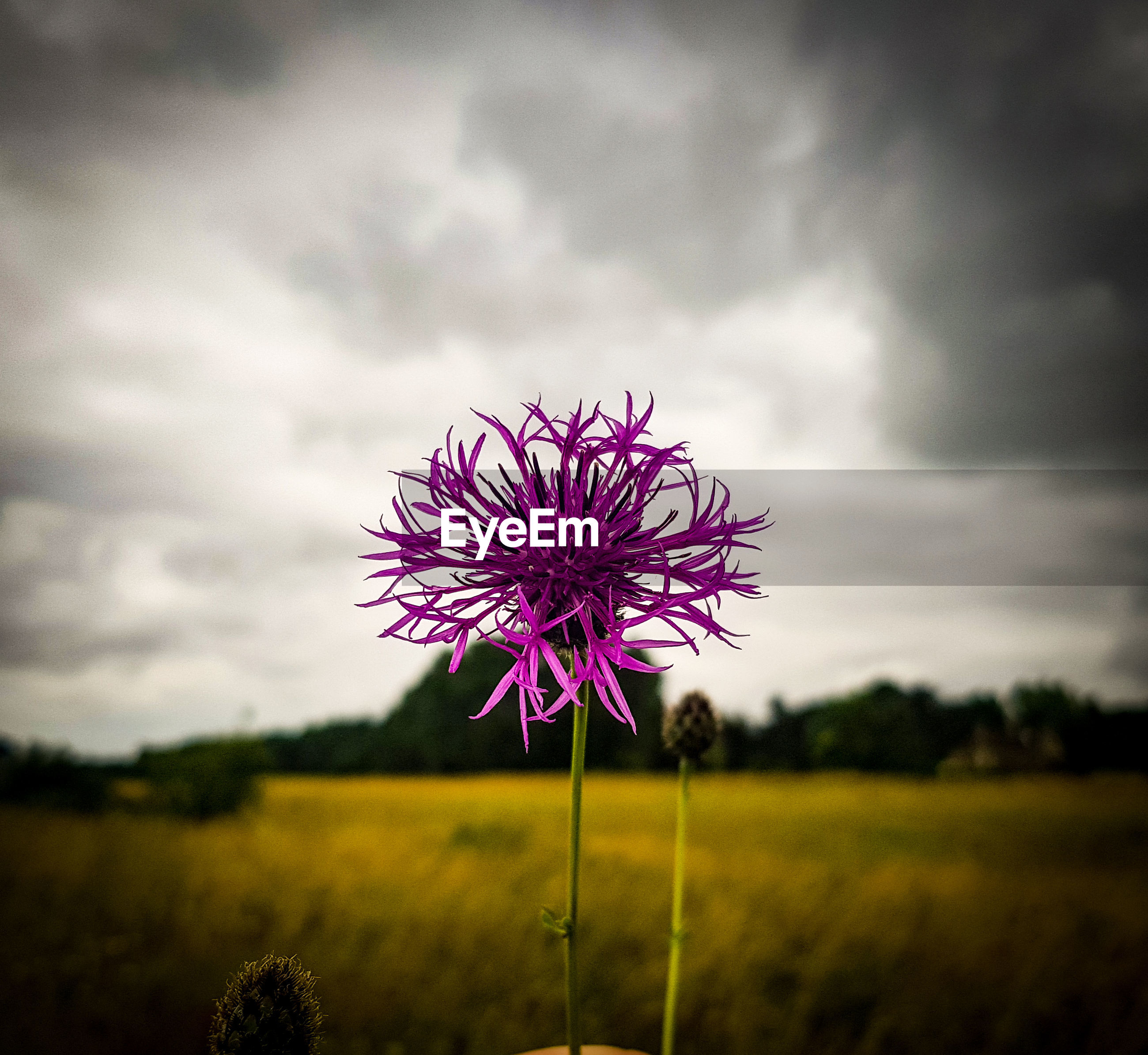 CLOSE-UP OF PURPLE FLOWER ON FIELD AGAINST SKY