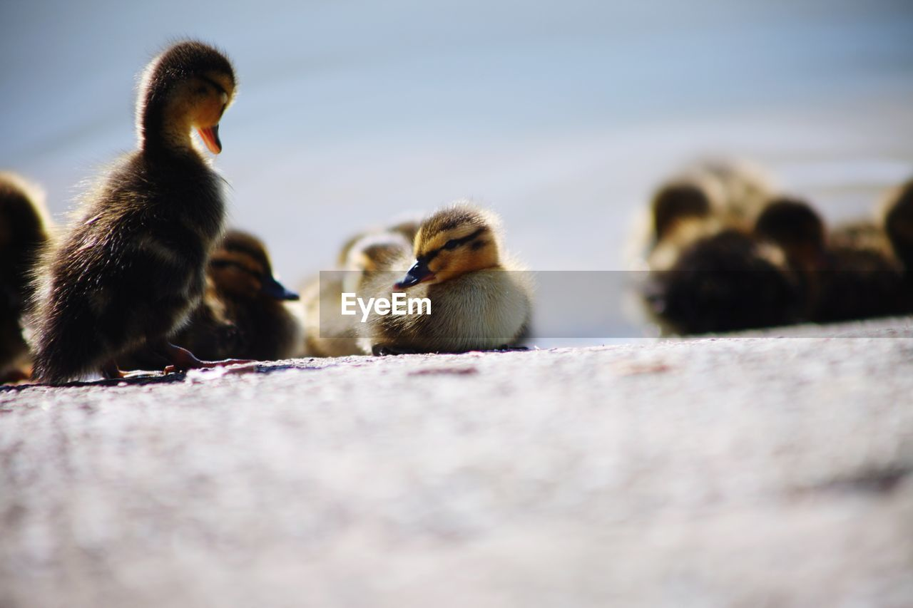 A tiny duckling sitting in the sunshine