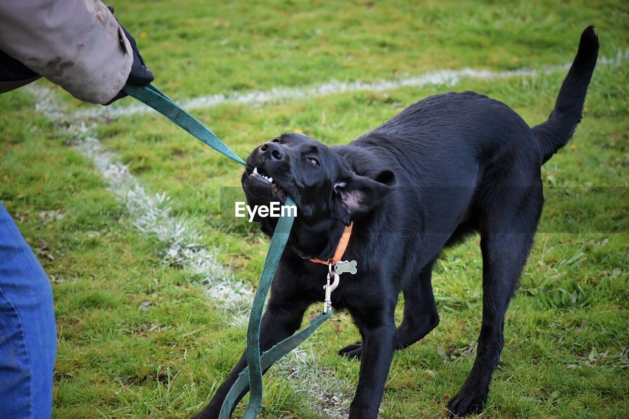 Person Playing With Black Labrador On Field