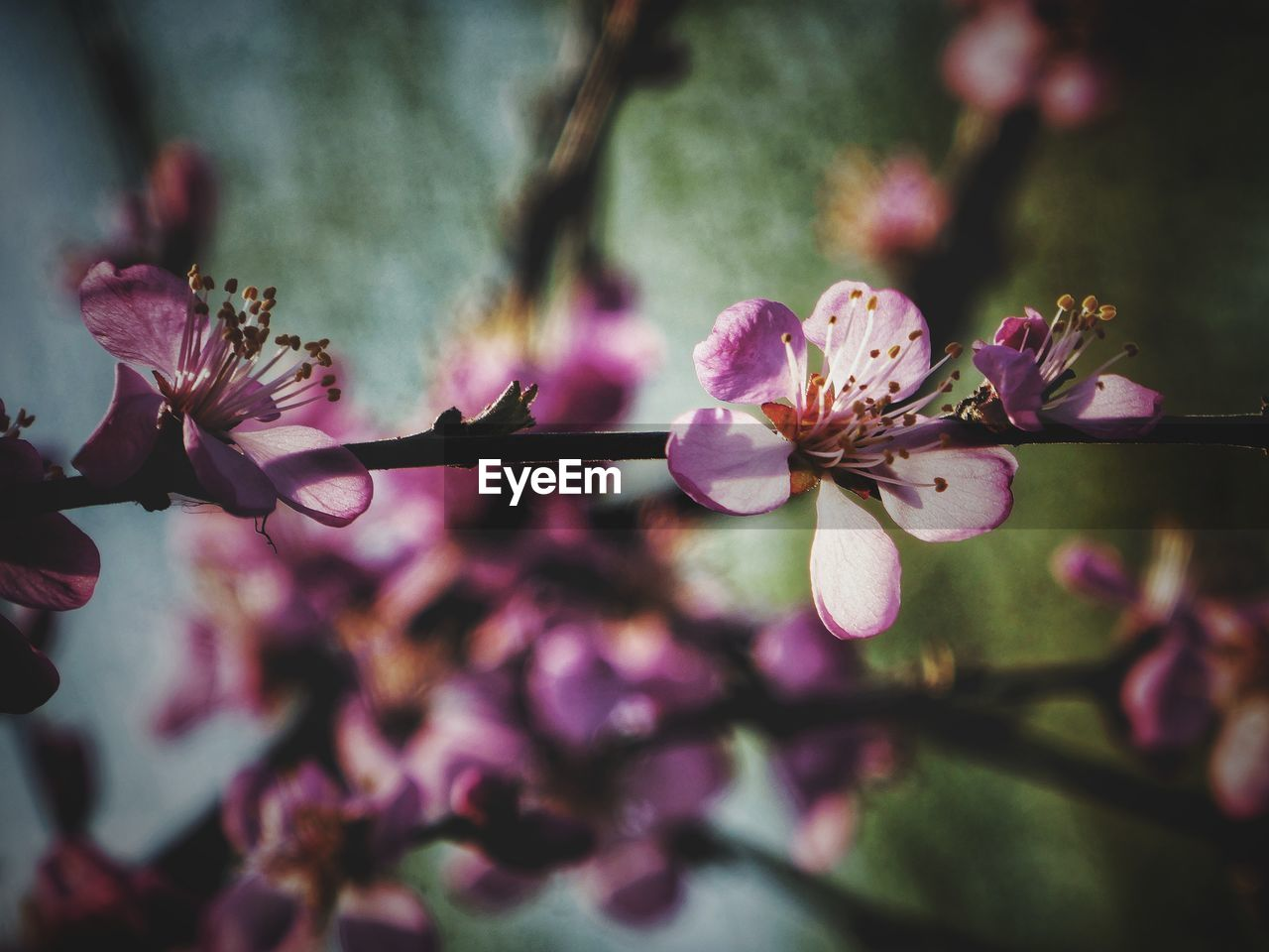 flowering plant, flower, plant, freshness, beauty in nature, fragility, growth, vulnerability, petal, close-up, pink color, blossom, springtime, pollen, inflorescence, tree, flower head, nature, branch, selective focus, no people, cherry blossom, outdoors, cherry tree, spring