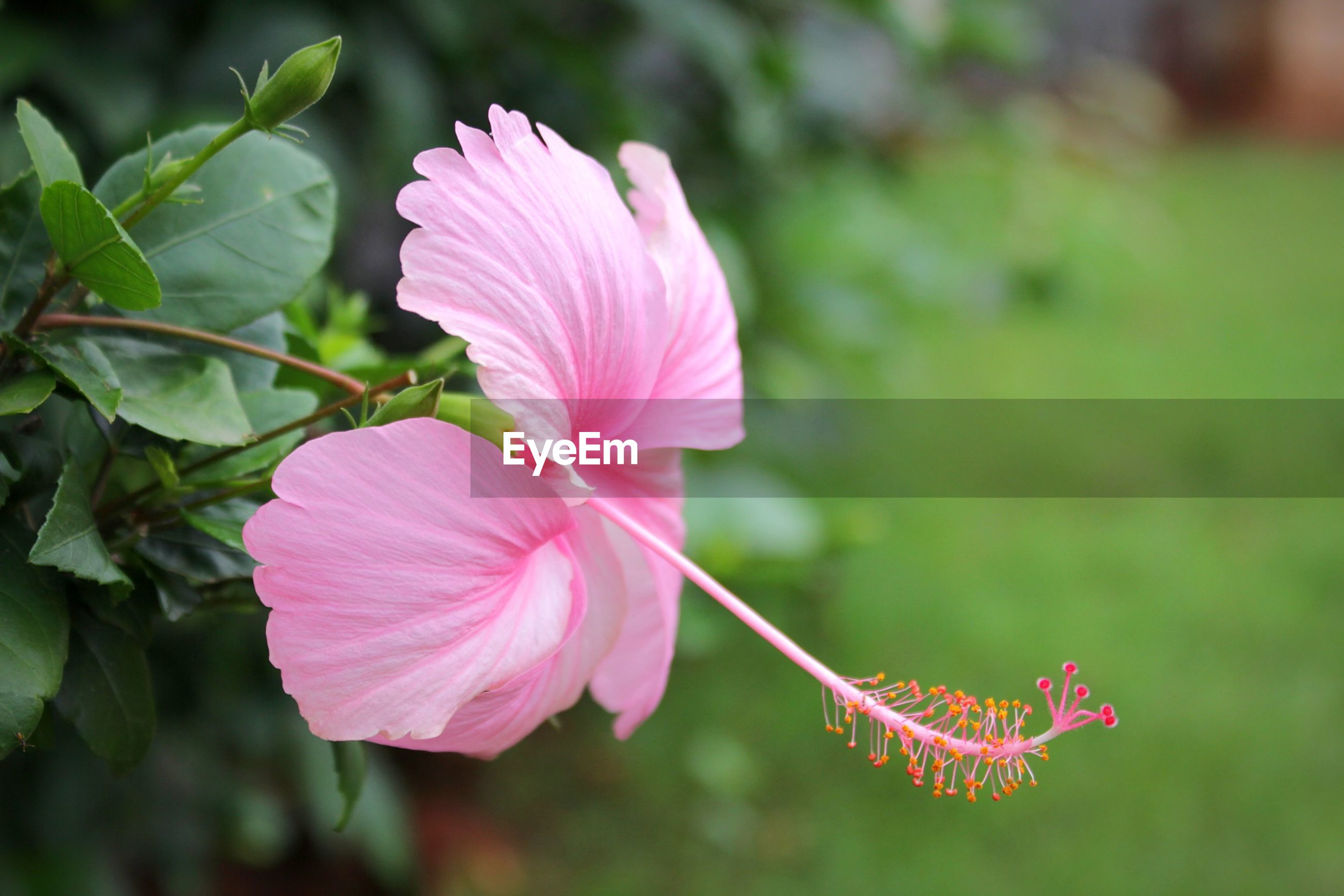 CLOSE-UP OF PINK HIBISCUS ON PLANT
