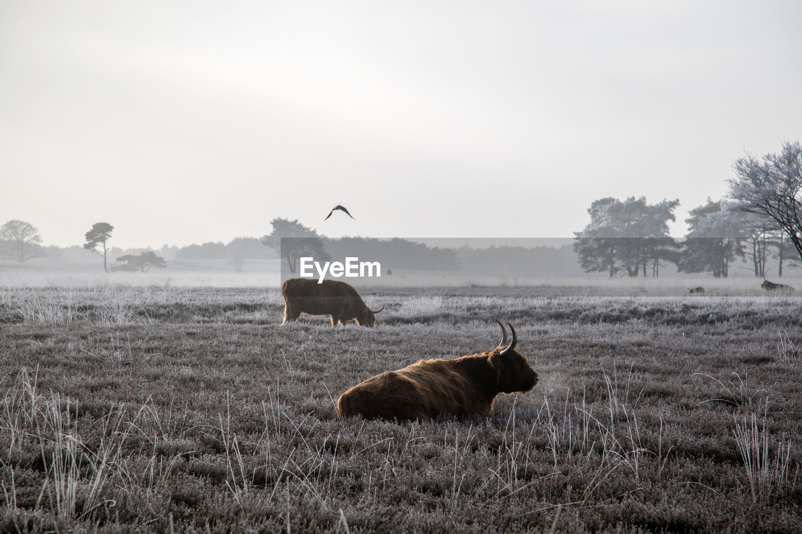 American bison on field against sky during winter