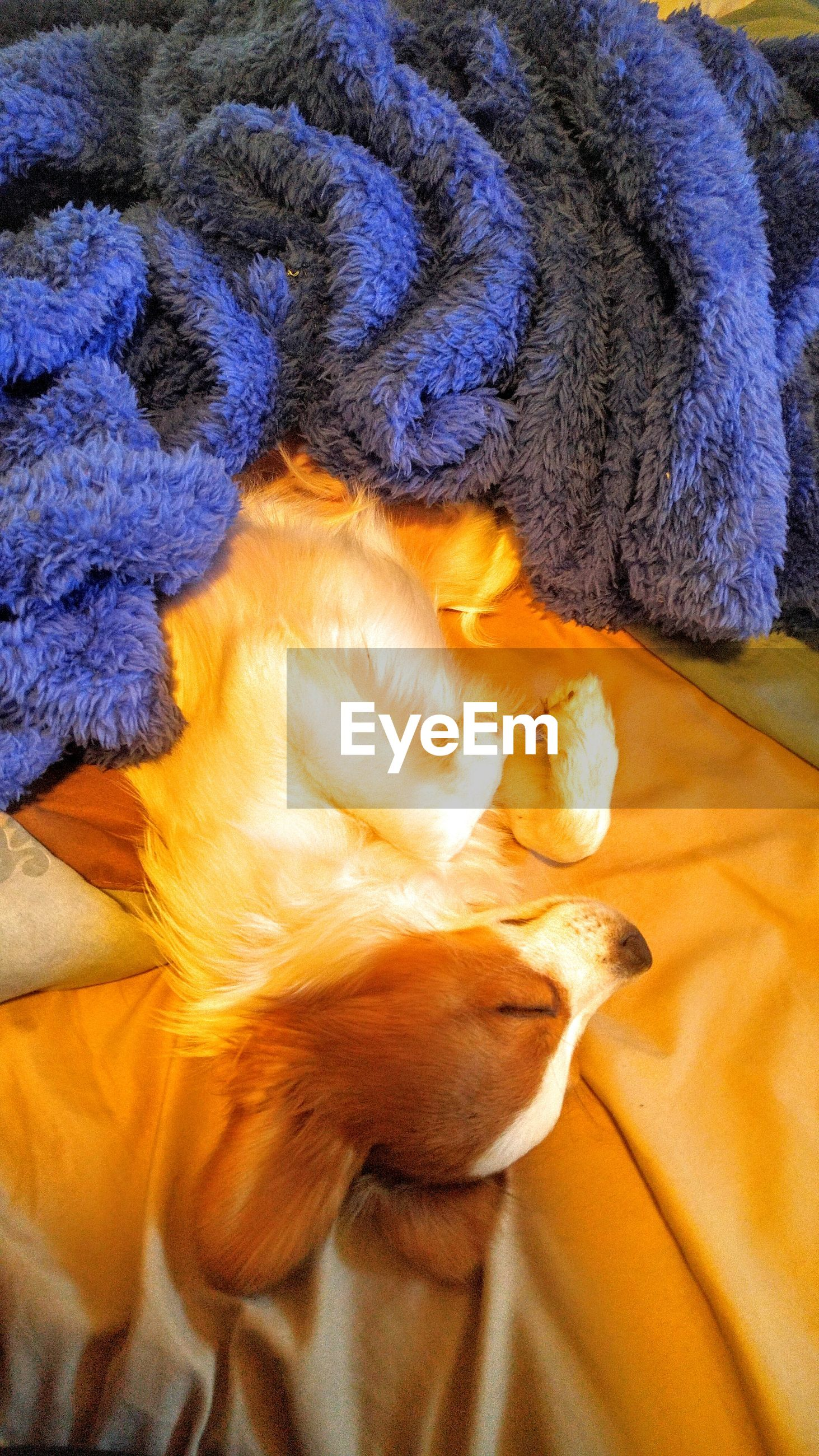 Directly above shot of dog lying on bed at home