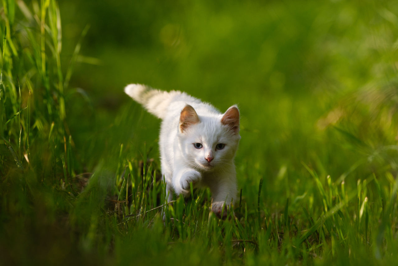 animal themes, mammal, one animal, animal, domestic, pets, plant, grass, domestic animals, vertebrate, selective focus, field, land, green color, no people, portrait, nature, cat, day, looking at camera, whisker