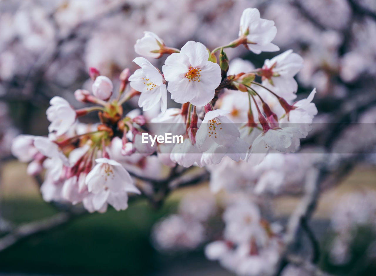 flowering plant, flower, fragility, plant, vulnerability, beauty in nature, freshness, growth, petal, close-up, flower head, blossom, springtime, inflorescence, pollen, no people, cherry blossom, nature, day, branch, outdoors, cherry tree