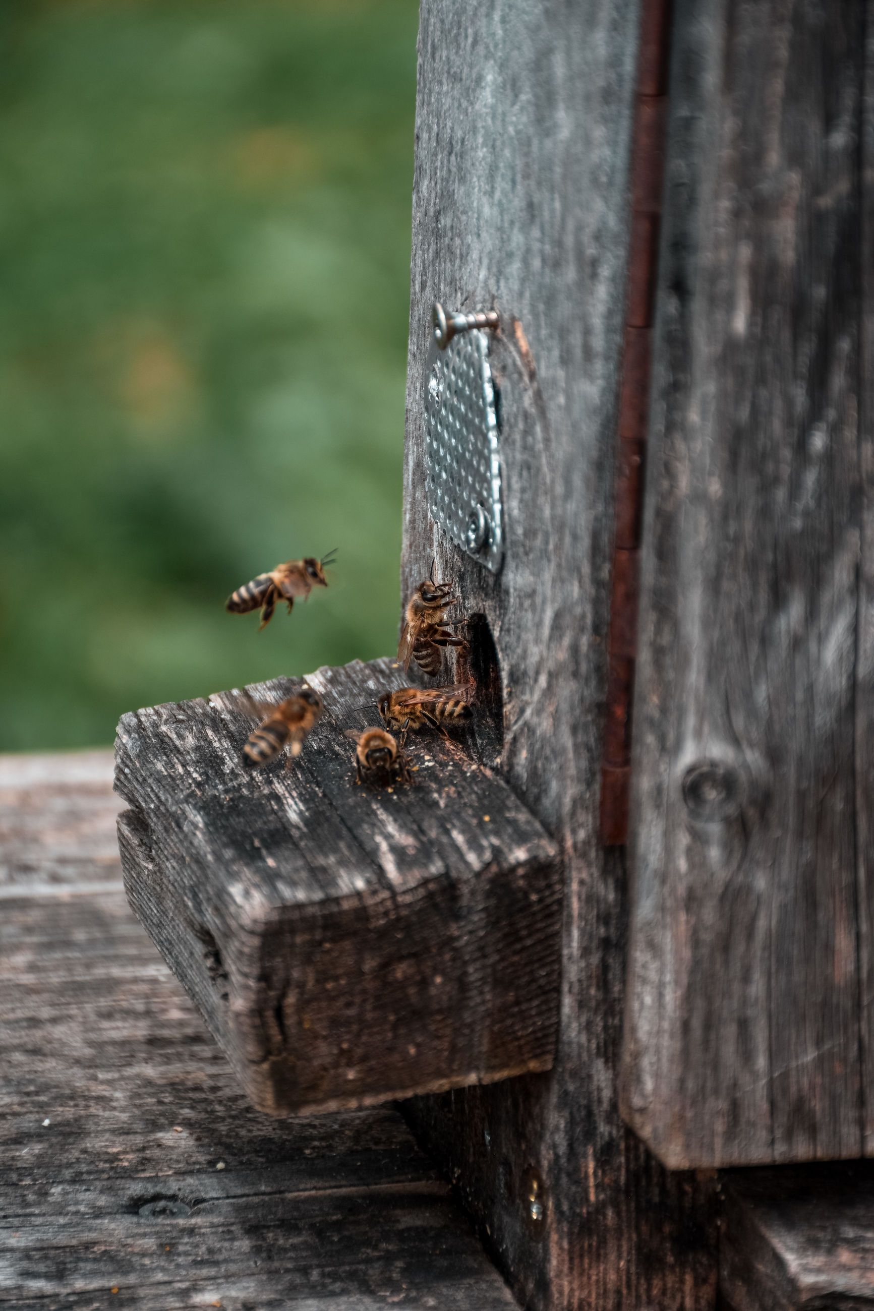 Bees at the entry of their beehive