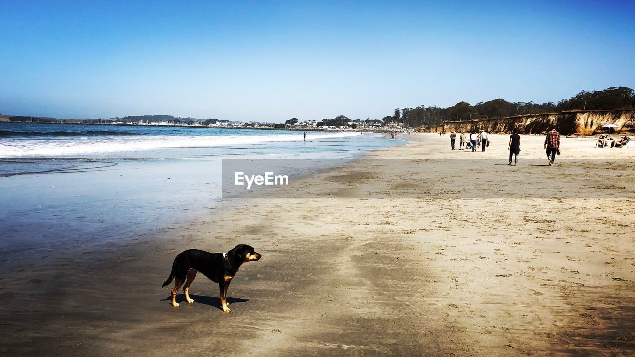Dogs standing at beach against clear sky