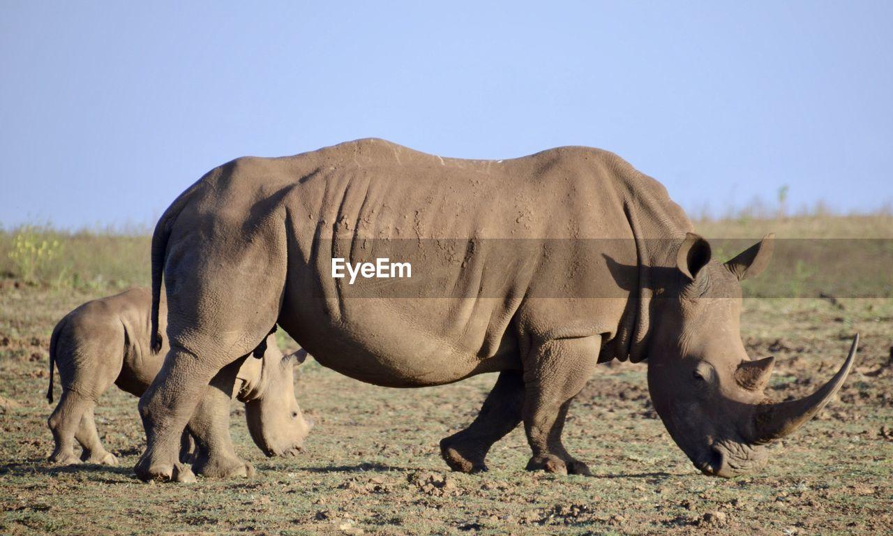 Rhinoceros On Field Against Clear Sky